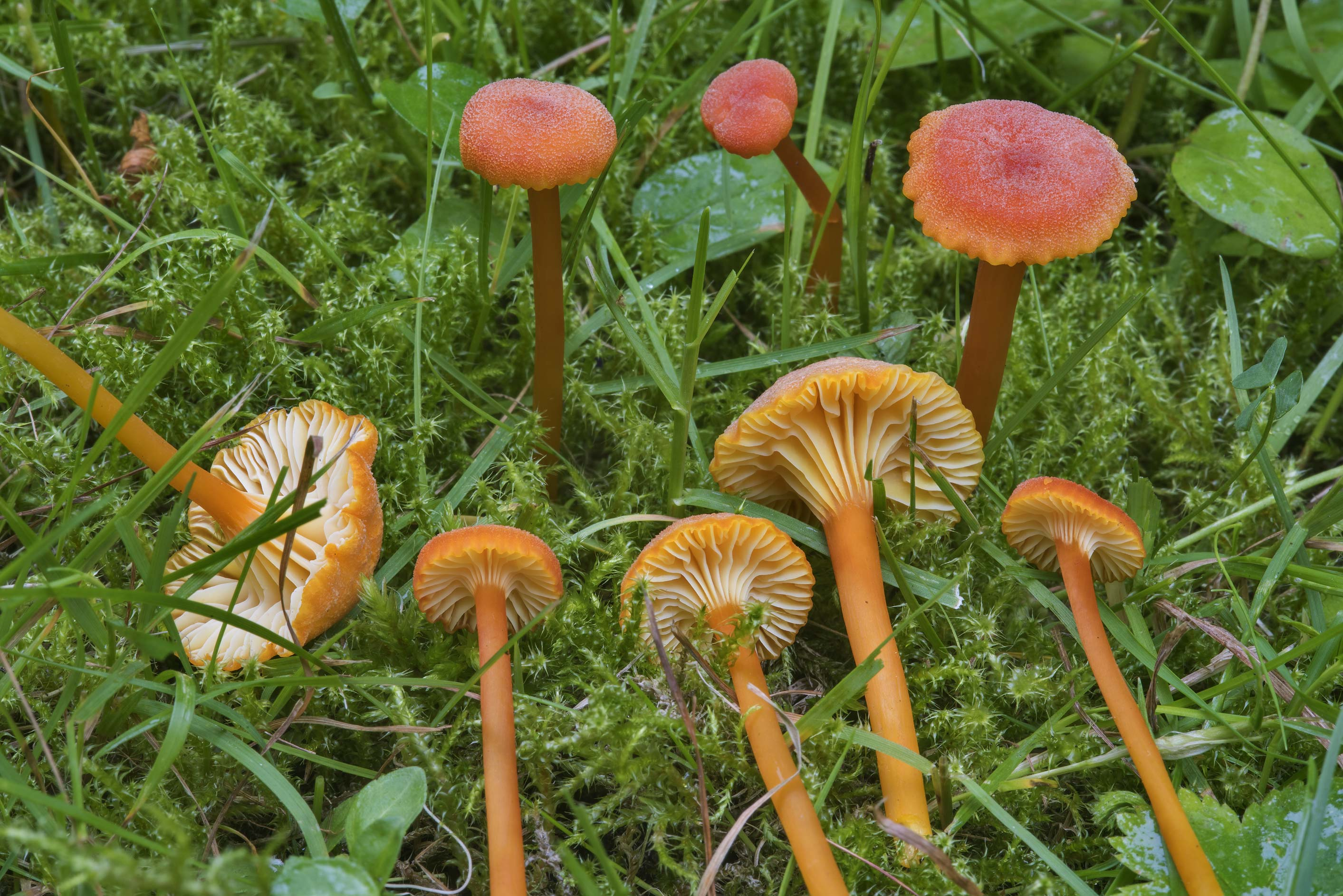 Goblet waxcap mushrooms (Hygrocybe cantharellus...Institute. St.Petersburg, Russia