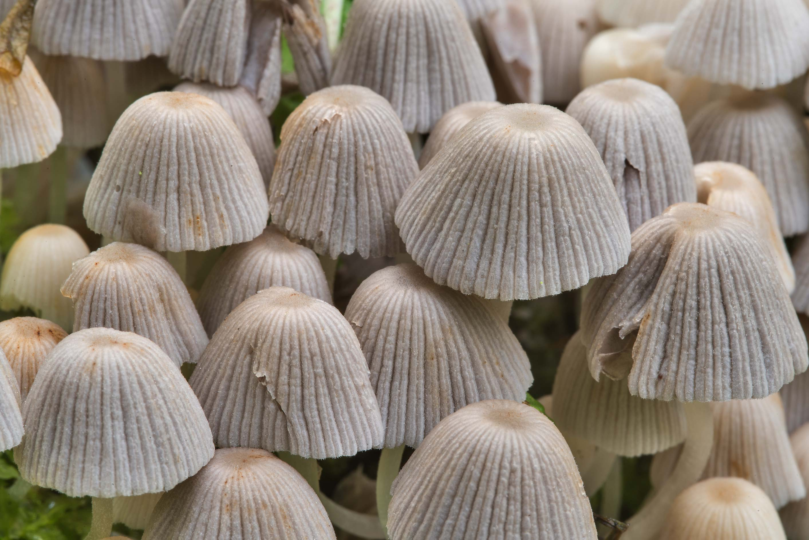 Fairy inkcap mushrooms (Coprinellus disseminatus) in Sosnovka Park. St.Petersburg, Russia