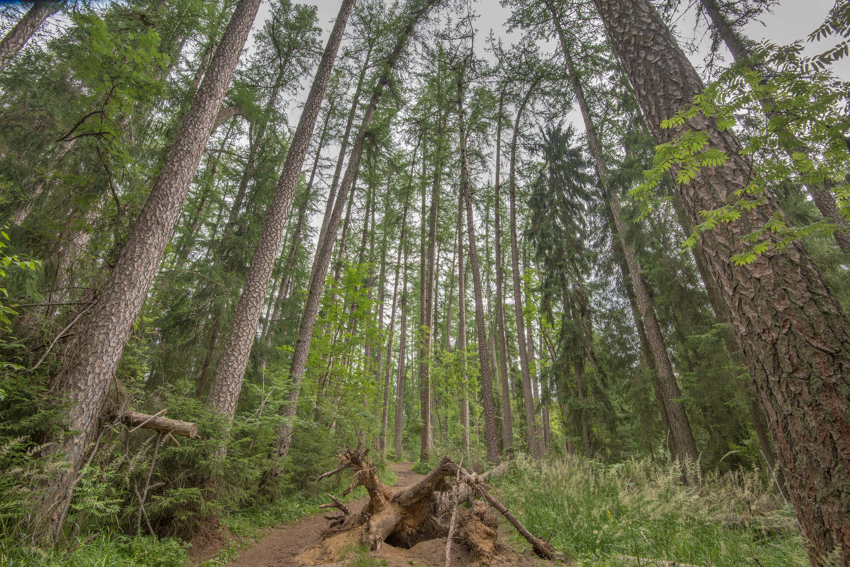 Forest trail in Lindulovskaya Larch Grove, near...north-west from St.Petersburg. Russia