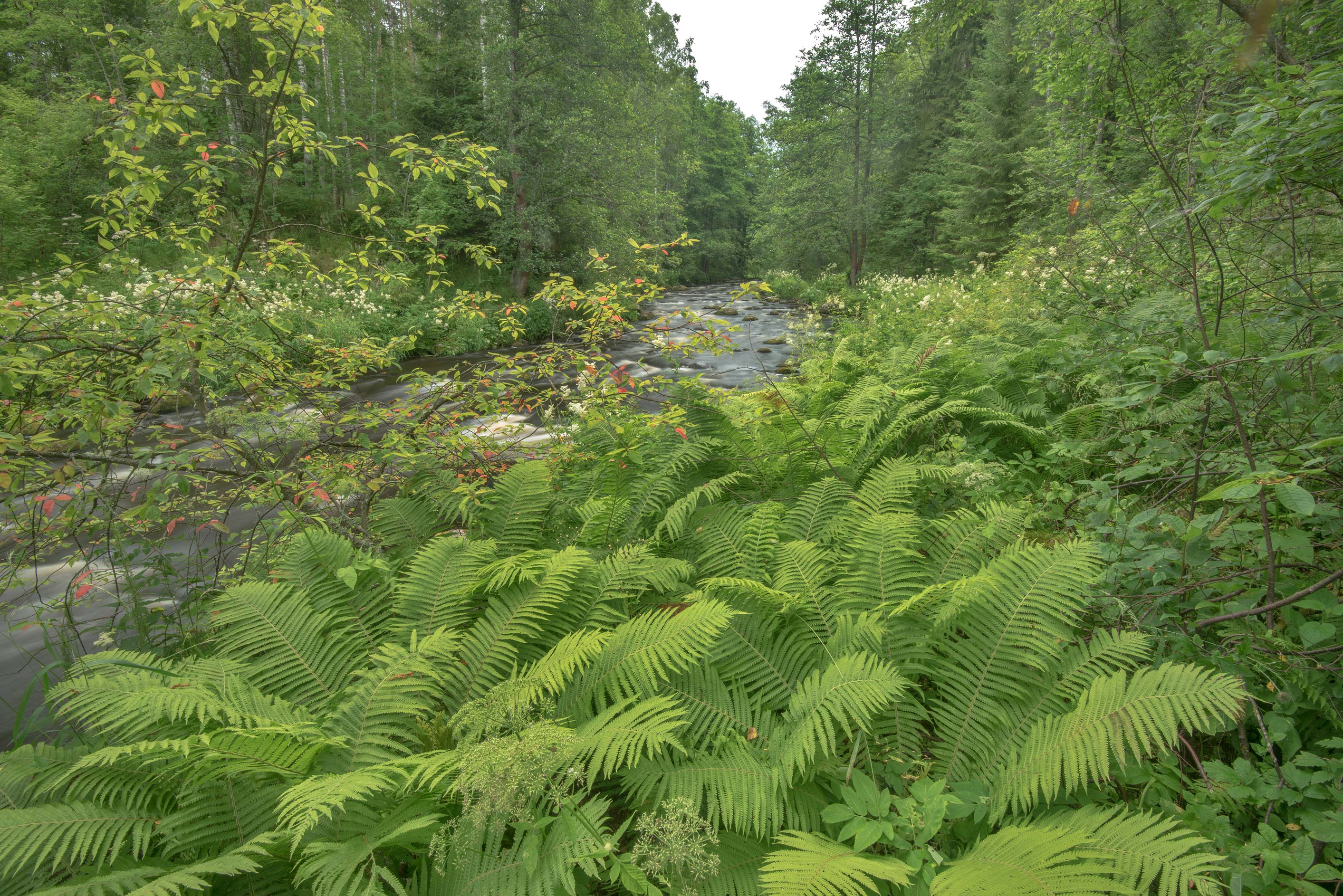 Ferns and vegetation around Roshchinka River in...north-west from St.Petersburg. Russia