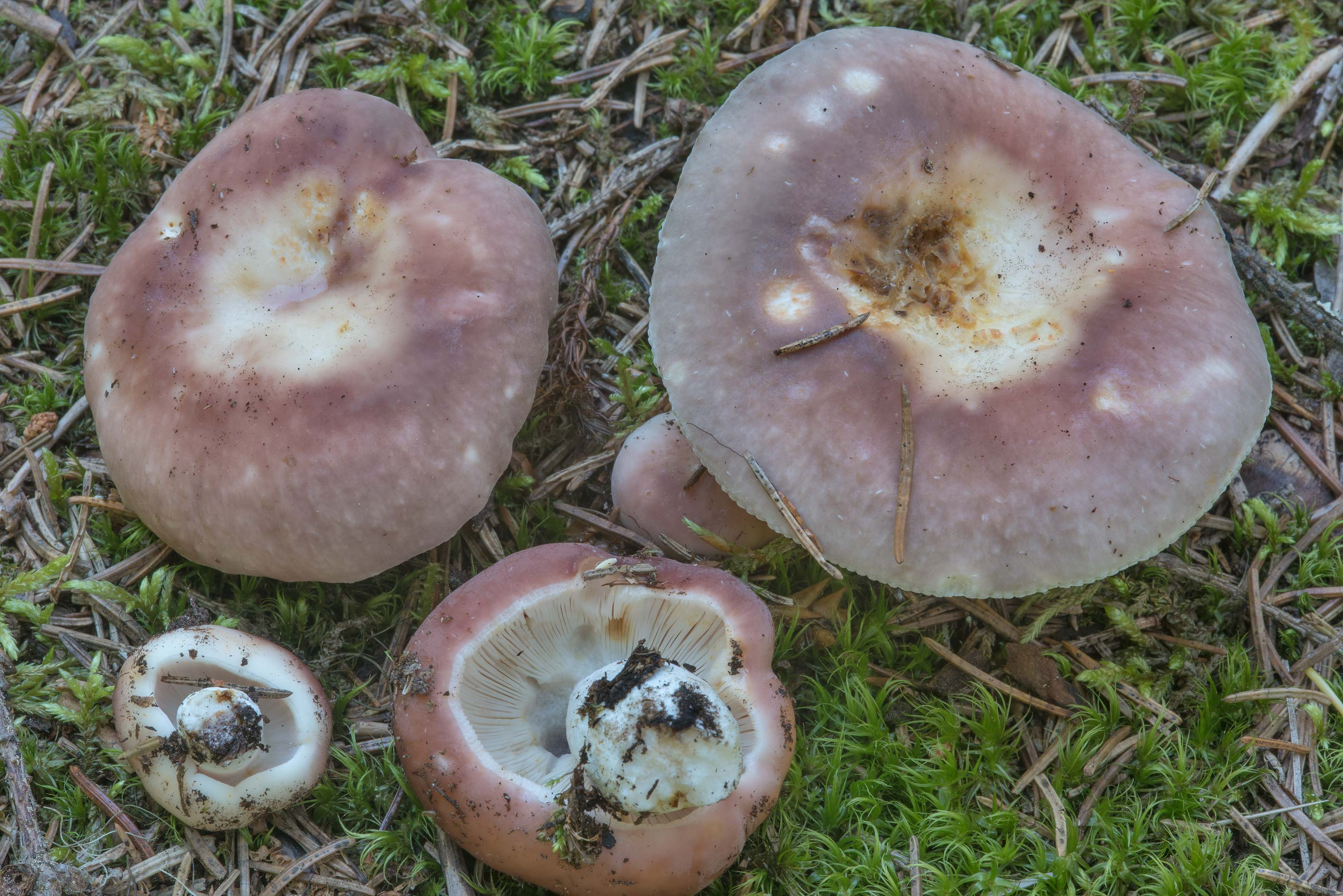 Violet brittlegill mushrooms (Russula) in a...north from St.Petersburg. Russia