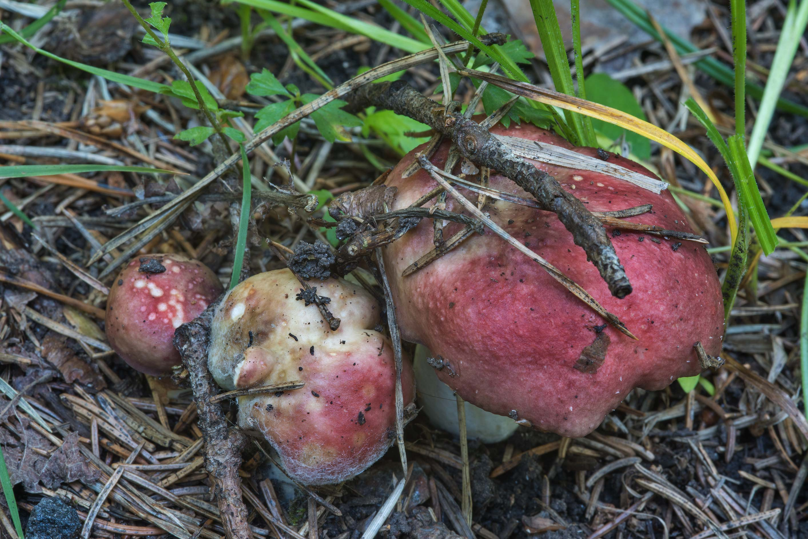 Dark red brittlegill mushrooms (Russula) in a...north from St.Petersburg. Russia