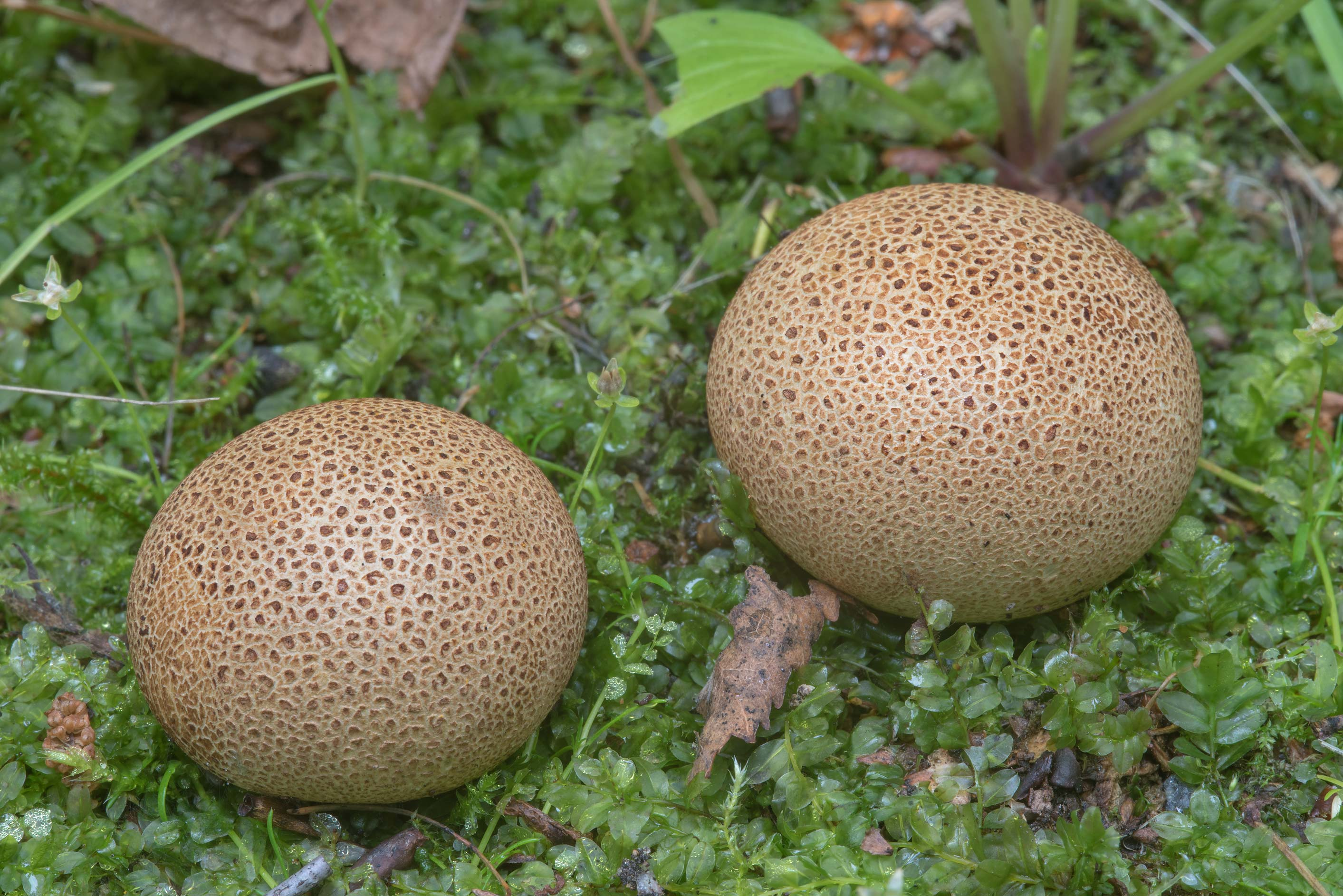 Earth ball mushrooms Scleroderma areolatum in a...University). St.Petersburg, Russia