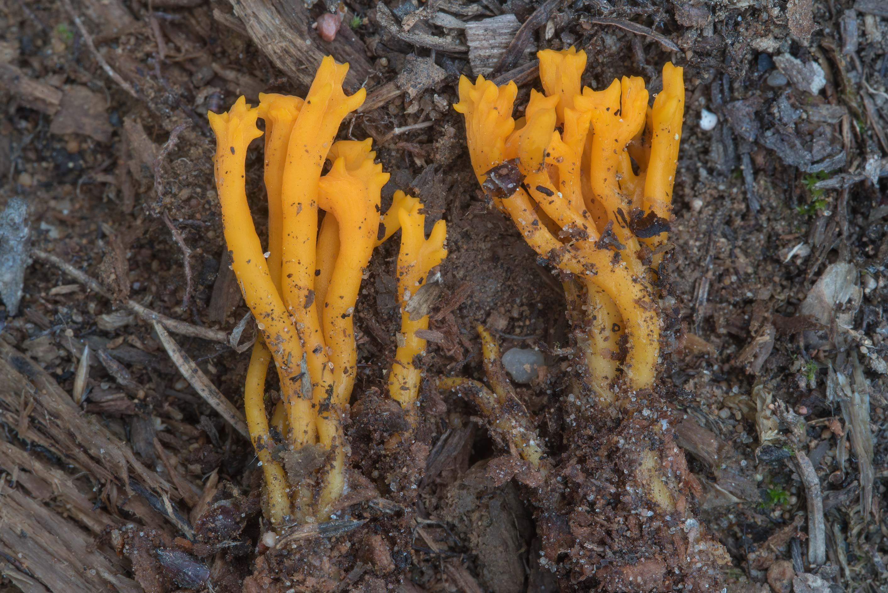 Yellow stagshorn fungus (Calocera viscosa) in...miles north from St.Petersburg. Russia