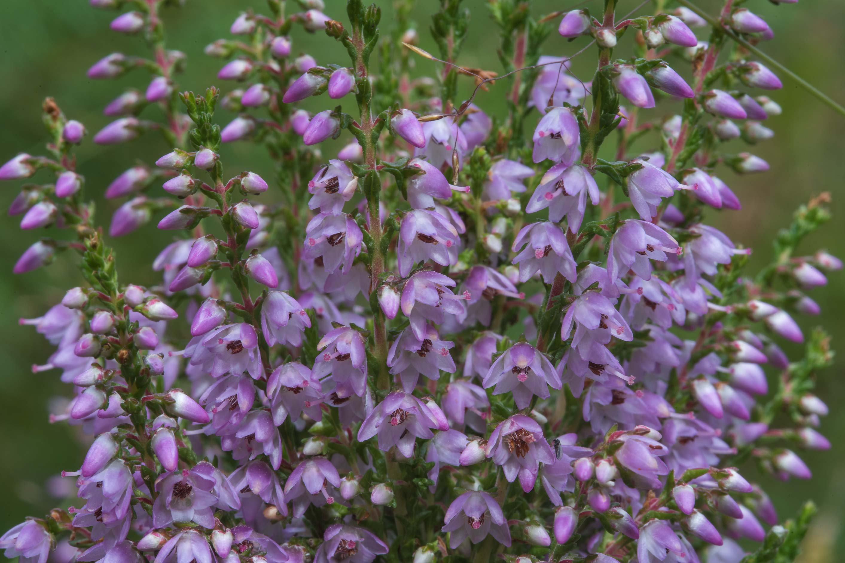 Flowers of heather (Calluna vulgaris, Russian...miles north from St.Petersburg. Russia