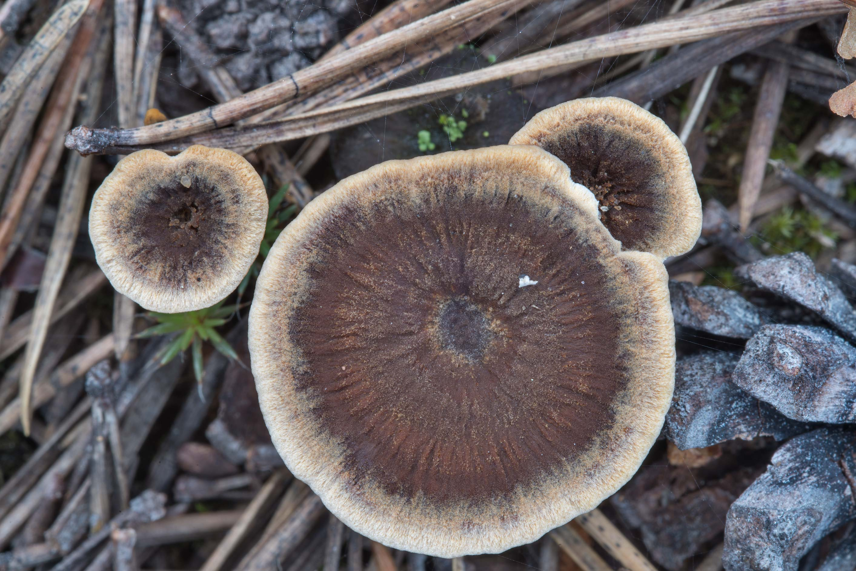 Zoned tooth mushrooms (Hydnellum concrescens) in...miles north from St.Petersburg. Russia