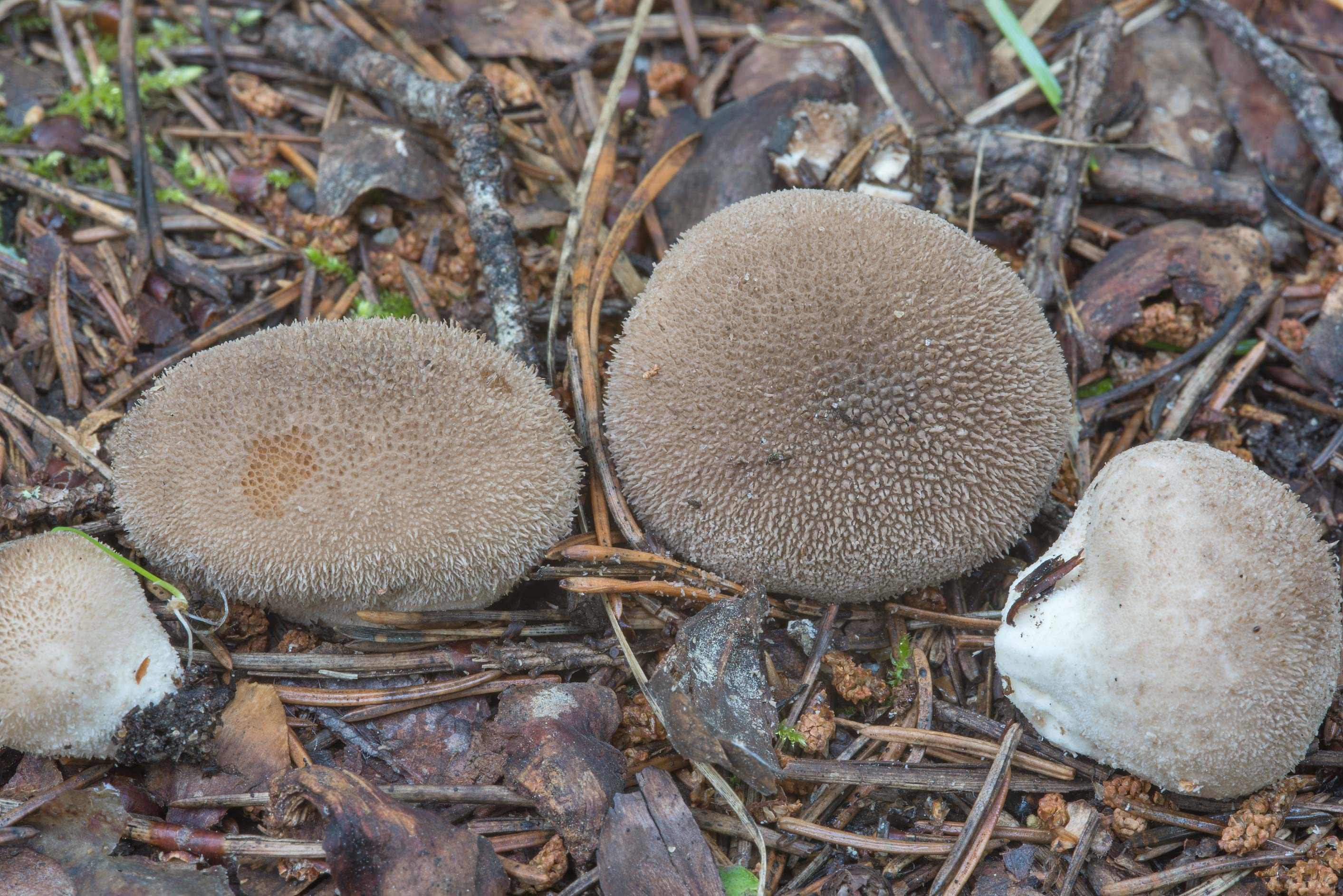 Soft puffball mushrooms (Lycoperdon molle) in Oselki, north from St.Petersburg. Russia