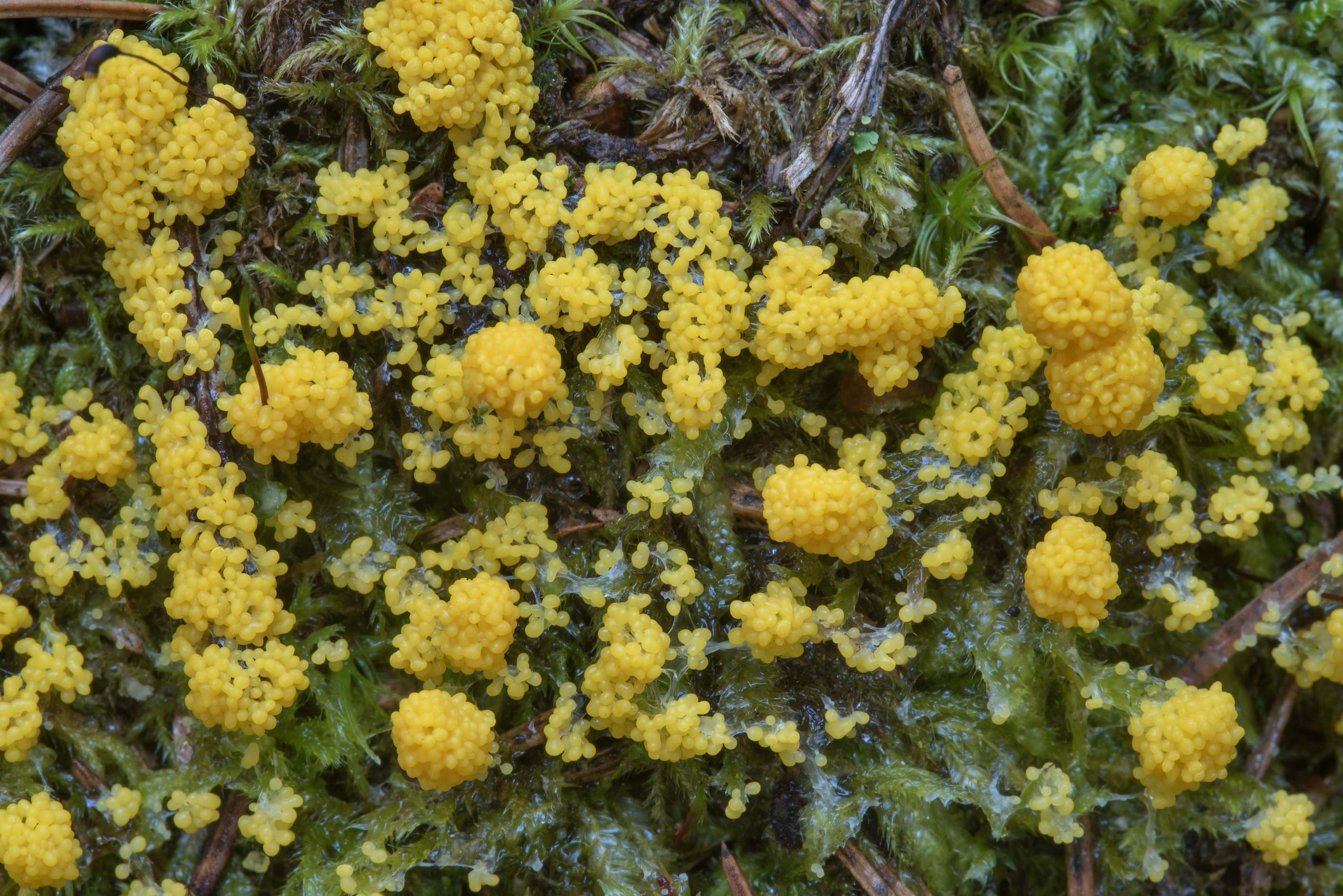 Slime mold Physarum virescens in area of...north from St.Petersburg. Russia