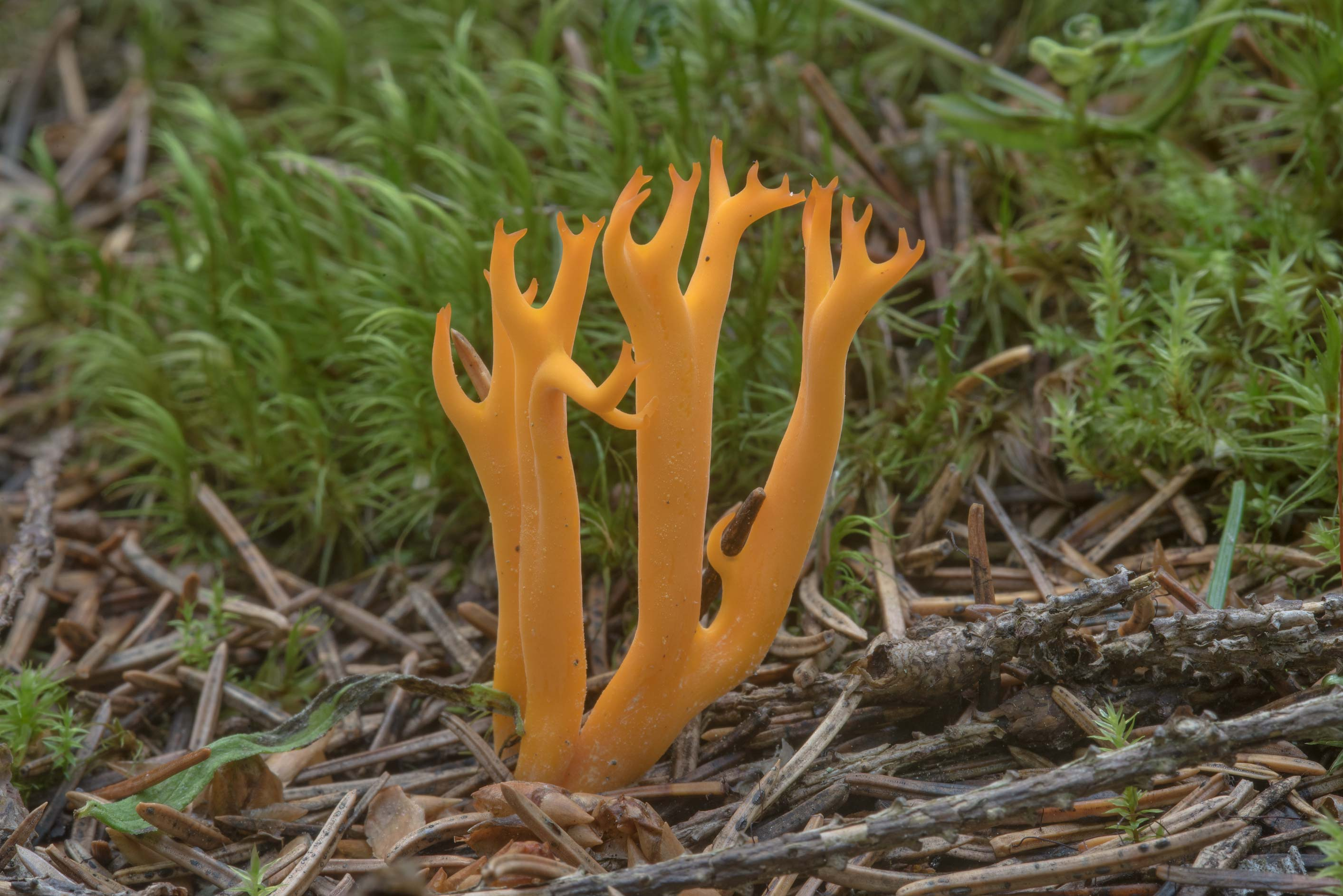 Yellow stagshorn mushroom (Calocera viscosa) in...north from St.Petersburg. Russia