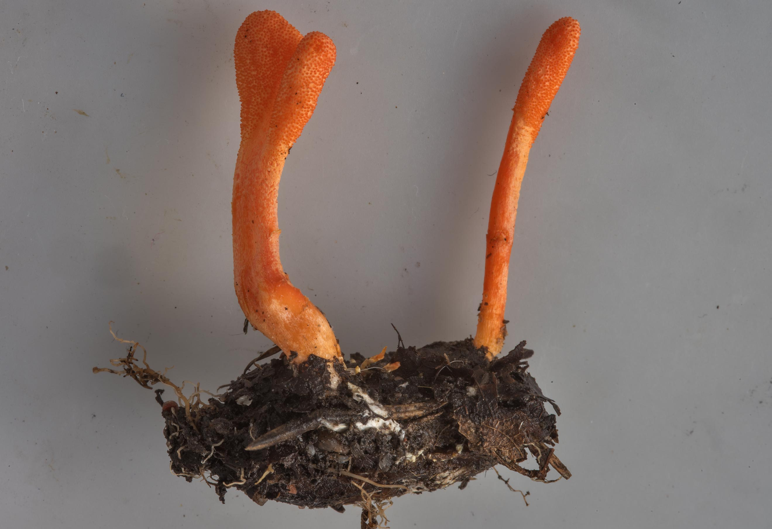 Orange club fungus Cordyceps militaris on a pupae...north from St.Petersburg. Russia