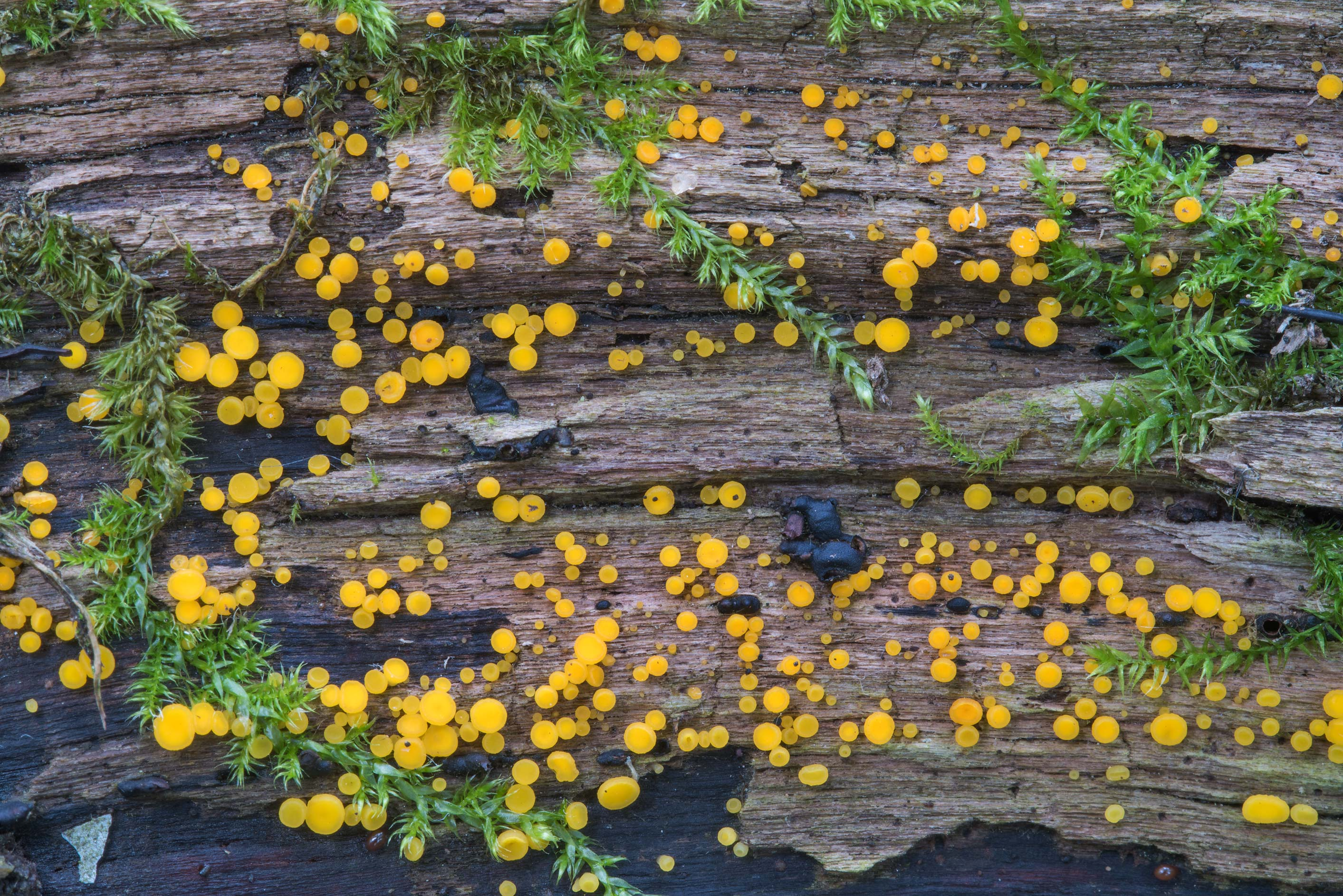 Lemon disco fungus (Bisporella citrina) on a log...north from St.Petersburg. Russia