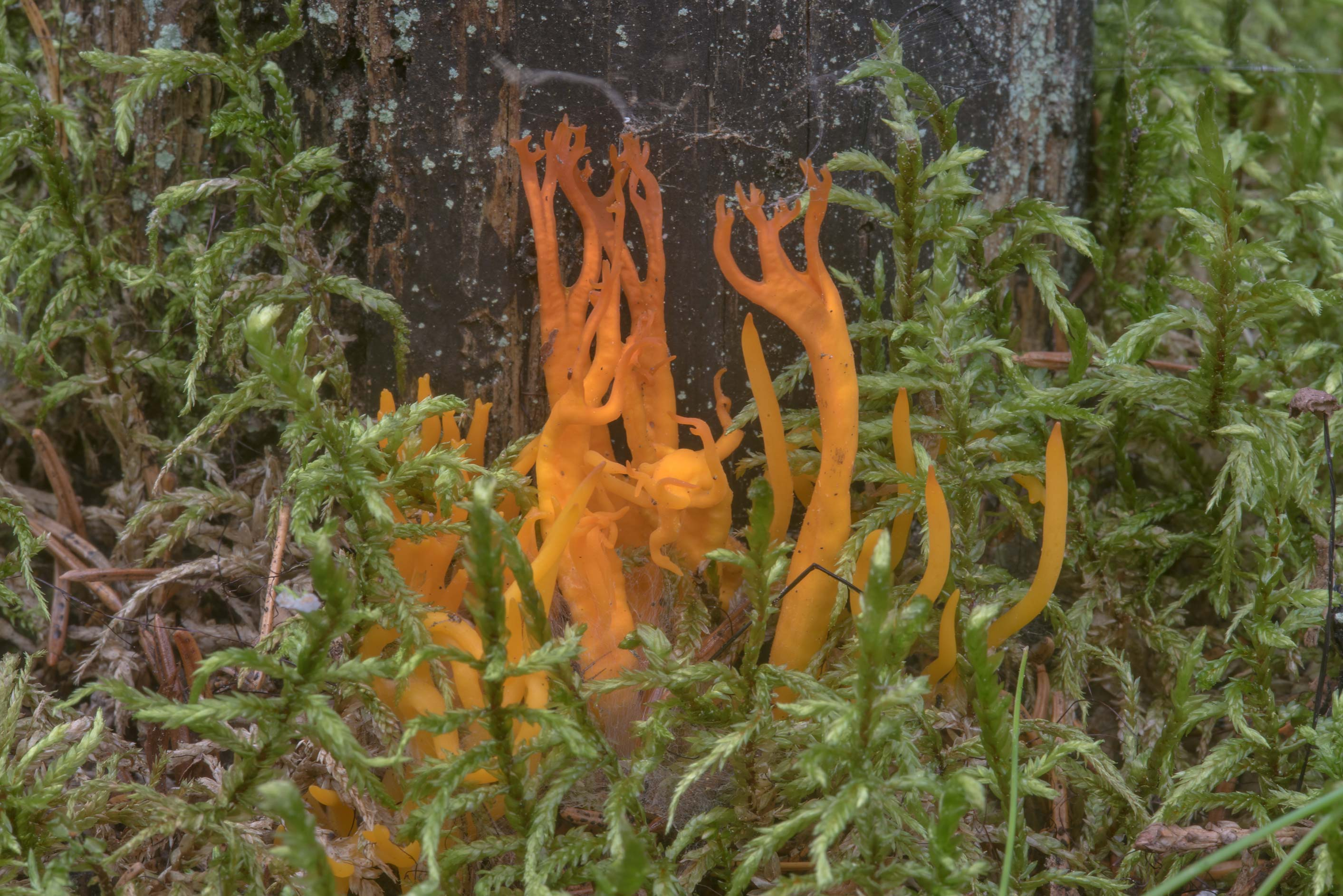 Yellow stagshorn mushroom (Calocera viscosa) in...miles north from St.Petersburg. Russia