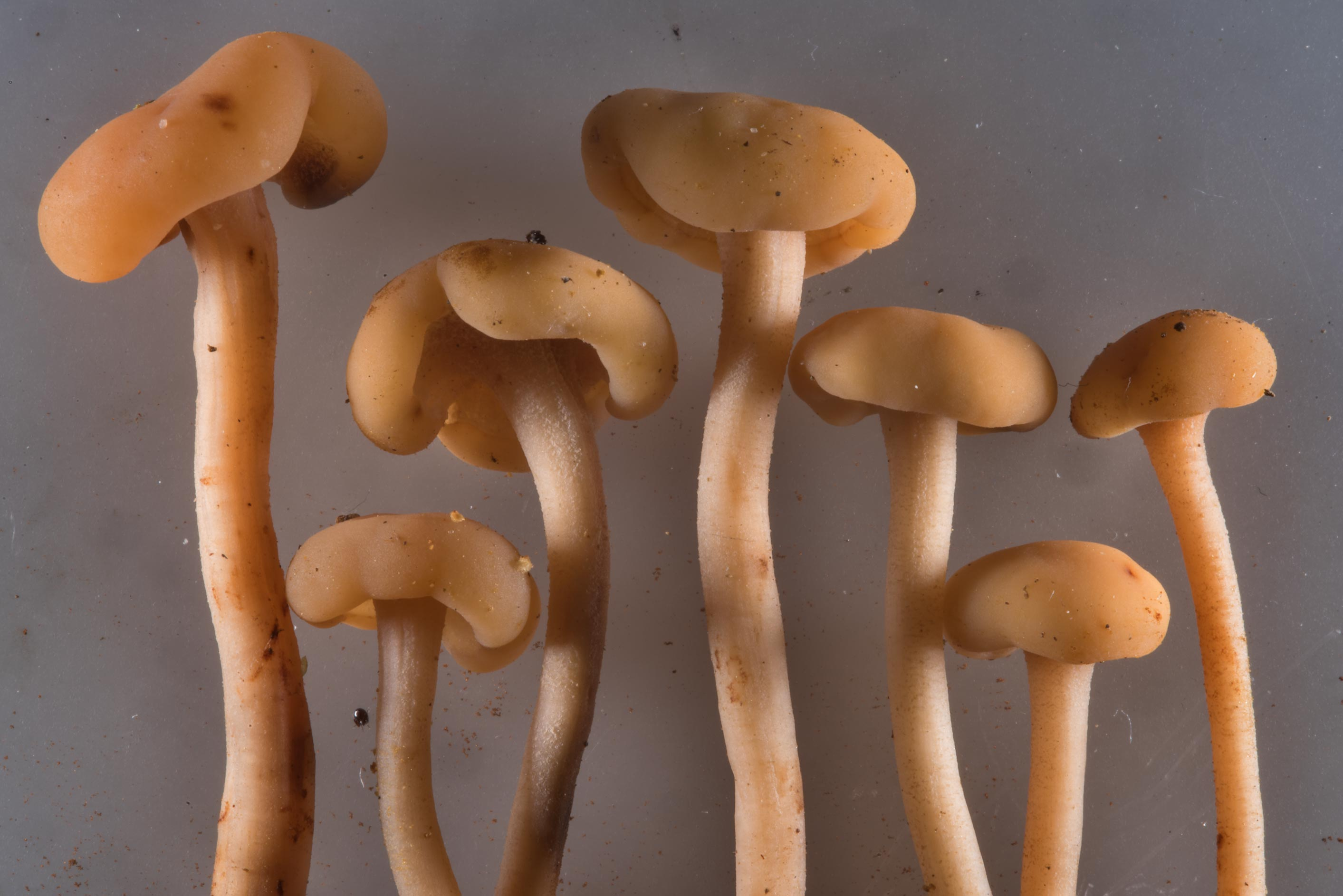 Mushrooms Cudonia circinans taken from...miles north from St.Petersburg. Russia