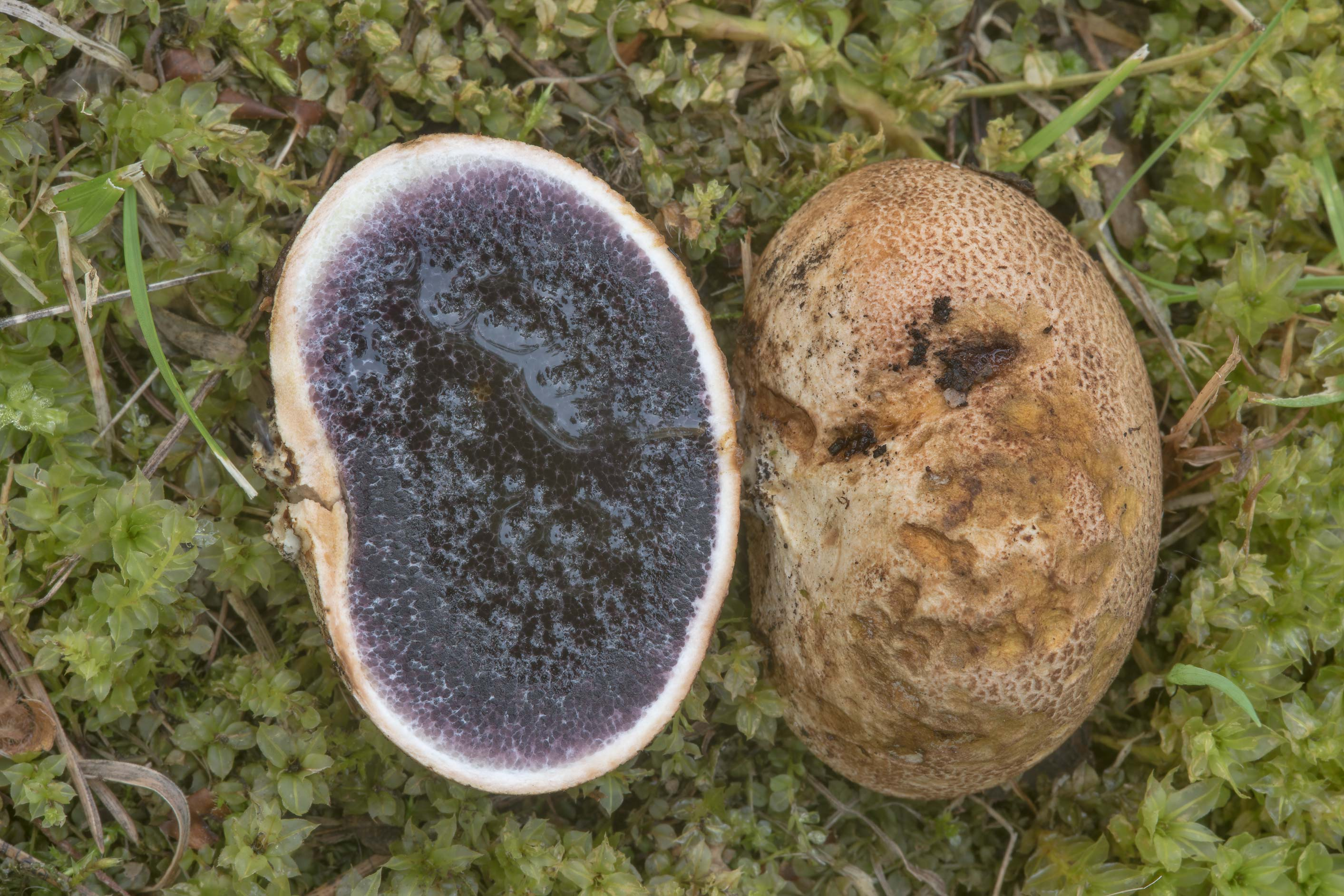 Dissected leopard earthball mushroom (Scleroderma...Institute. St.Petersburg, Russia