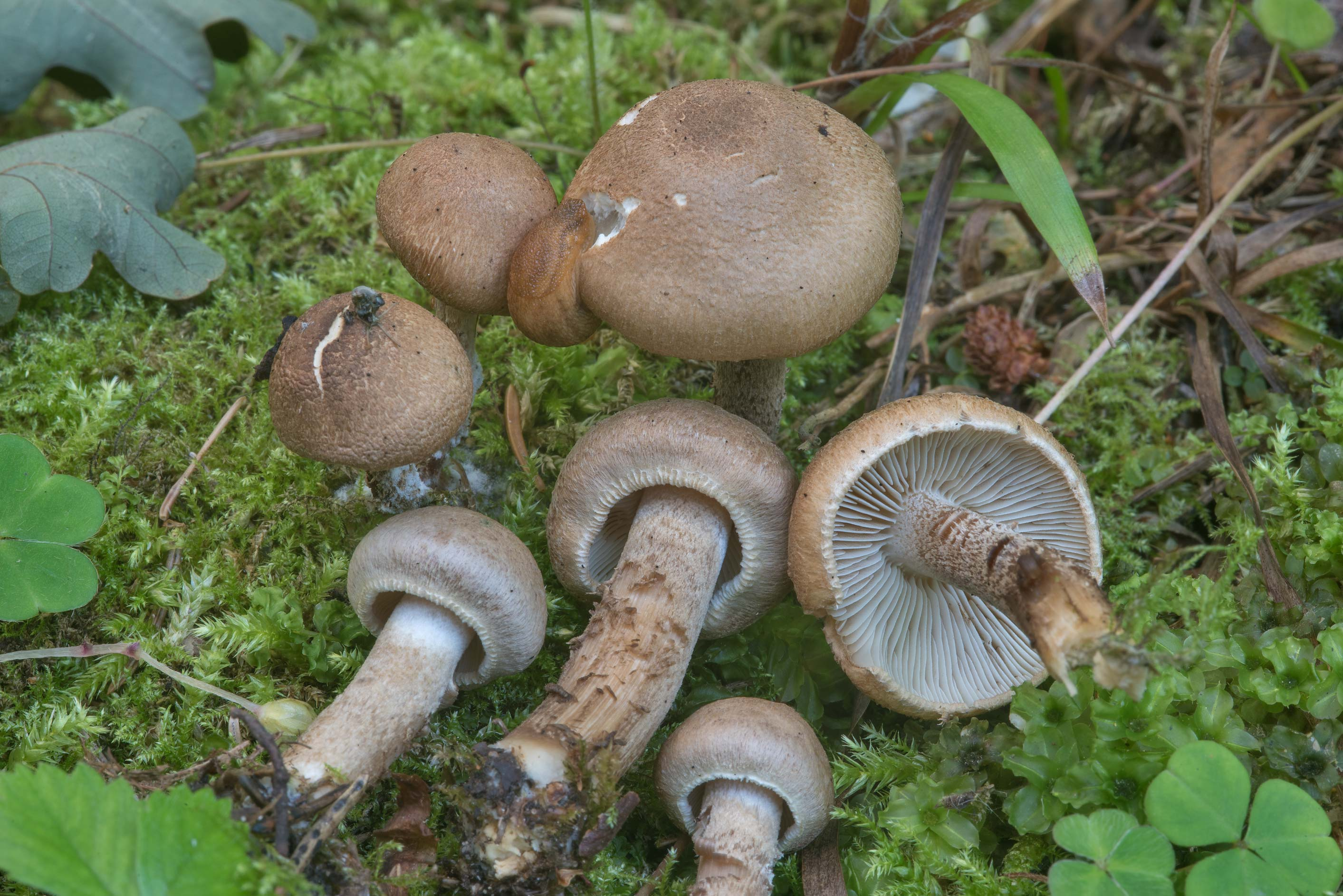 Some solid brown fibrecap (Inocybe) mushrooms on...West from St.Petersburg, Russia