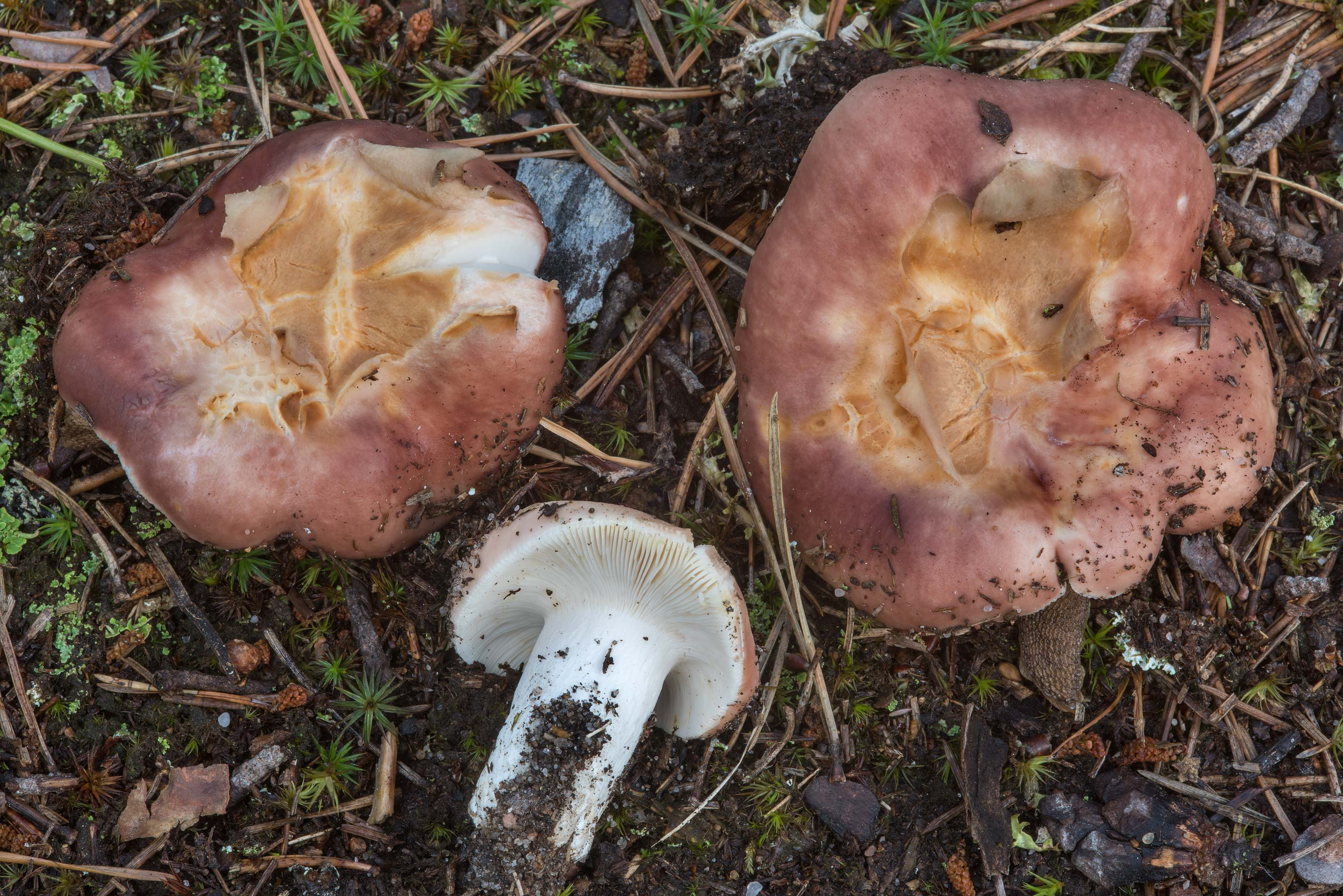 Bare teeth brittlegill mushrooms (Russula vesca...miles north from St.Petersburg. Russia