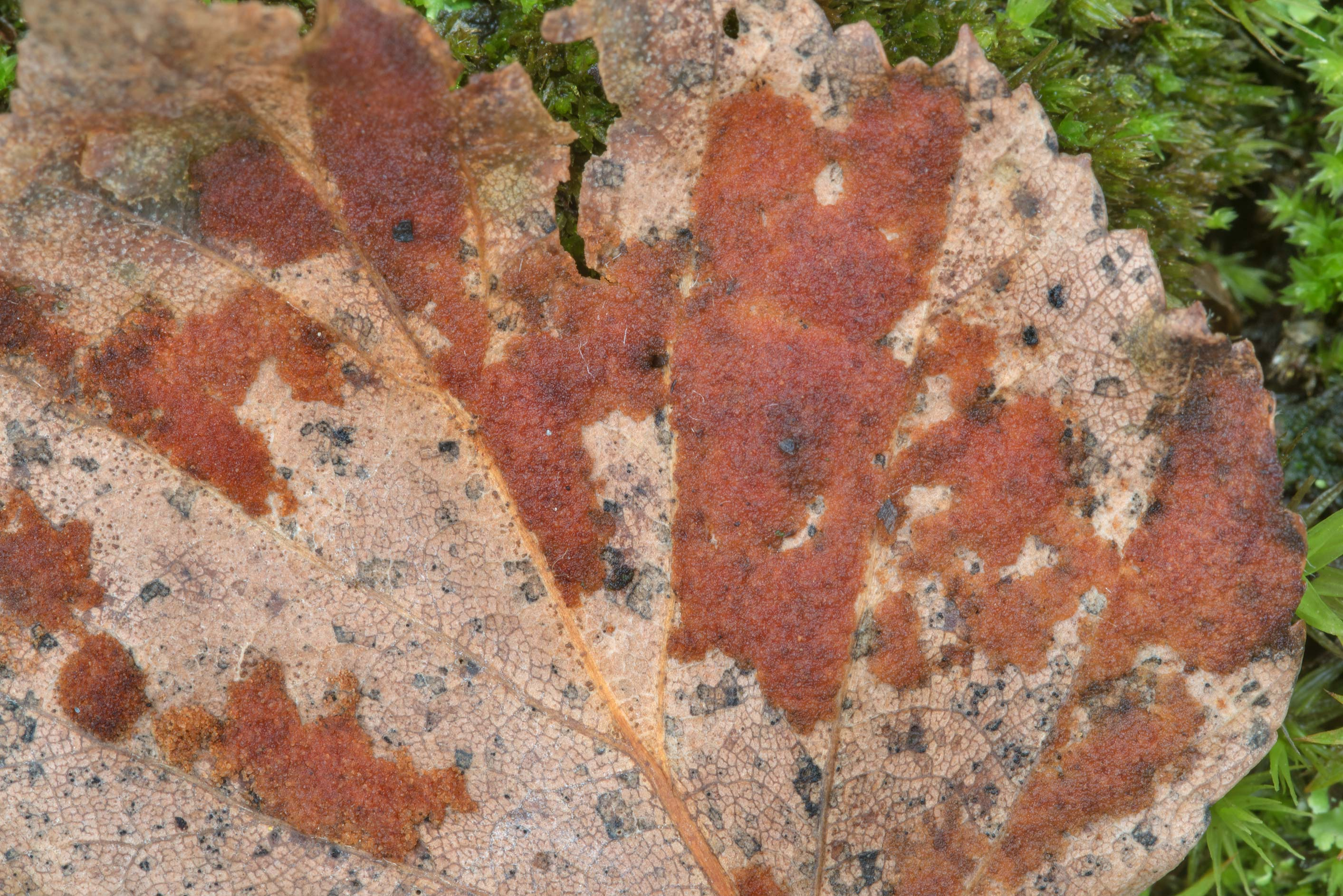 Velvety patches on a birch leaf caused by the...Sosnovka Park. St.Petersburg, Russia
