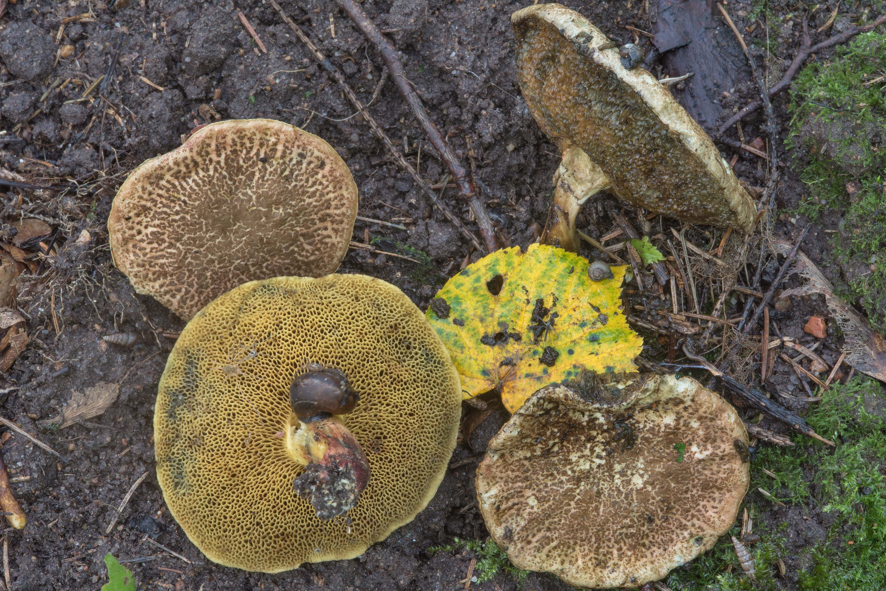 Bluefoot bolete mushrooms Xerocomellus cisalpinus...Nos. West from St.Petersburg, Russia