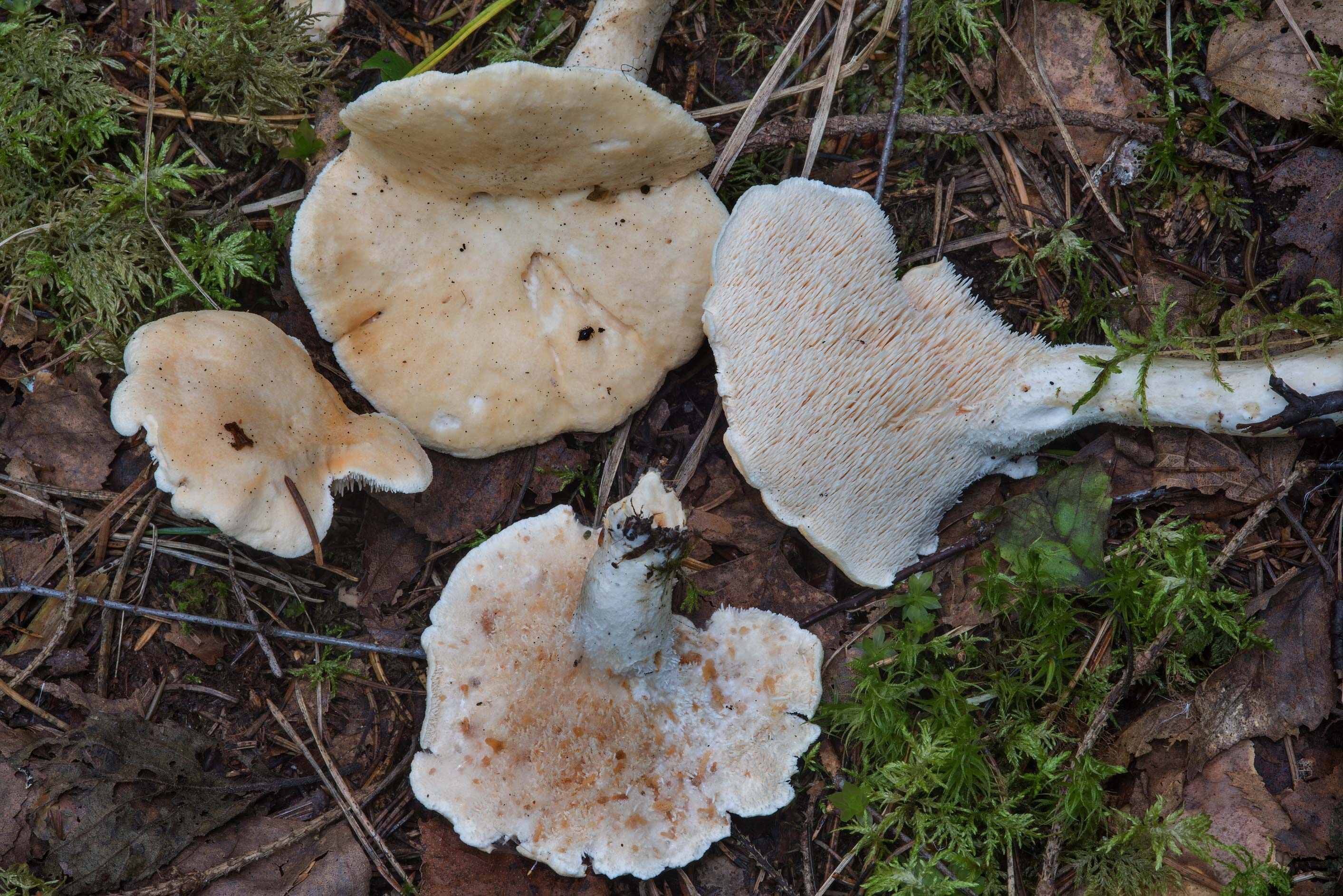 Wood hedgehog mushrooms (Hydnum repandum) in a...miles north from St.Petersburg. Russia