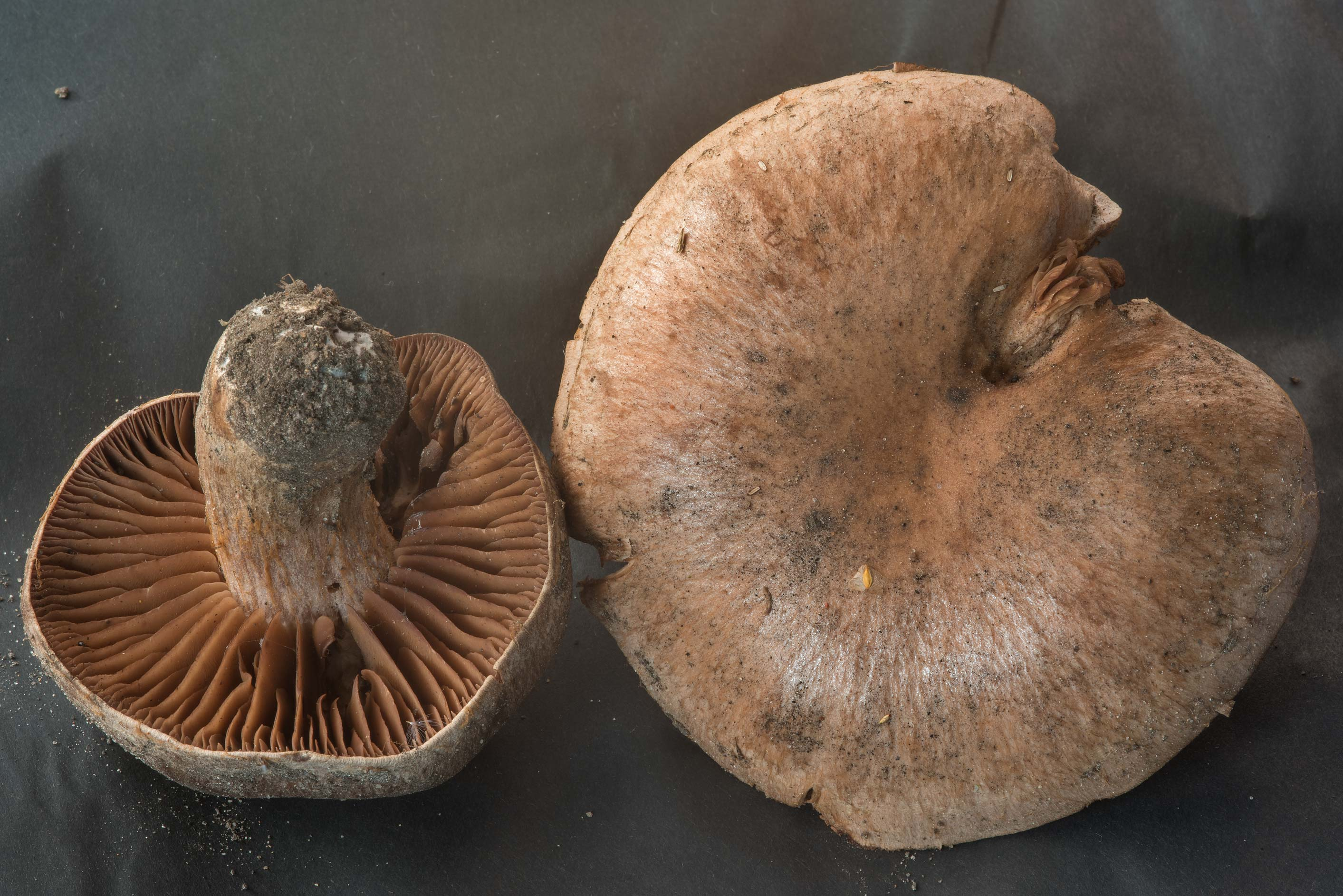 Brown field mushrooms (Agaricus cupreobrunneus...Prospect. St.Petersburg, Russia