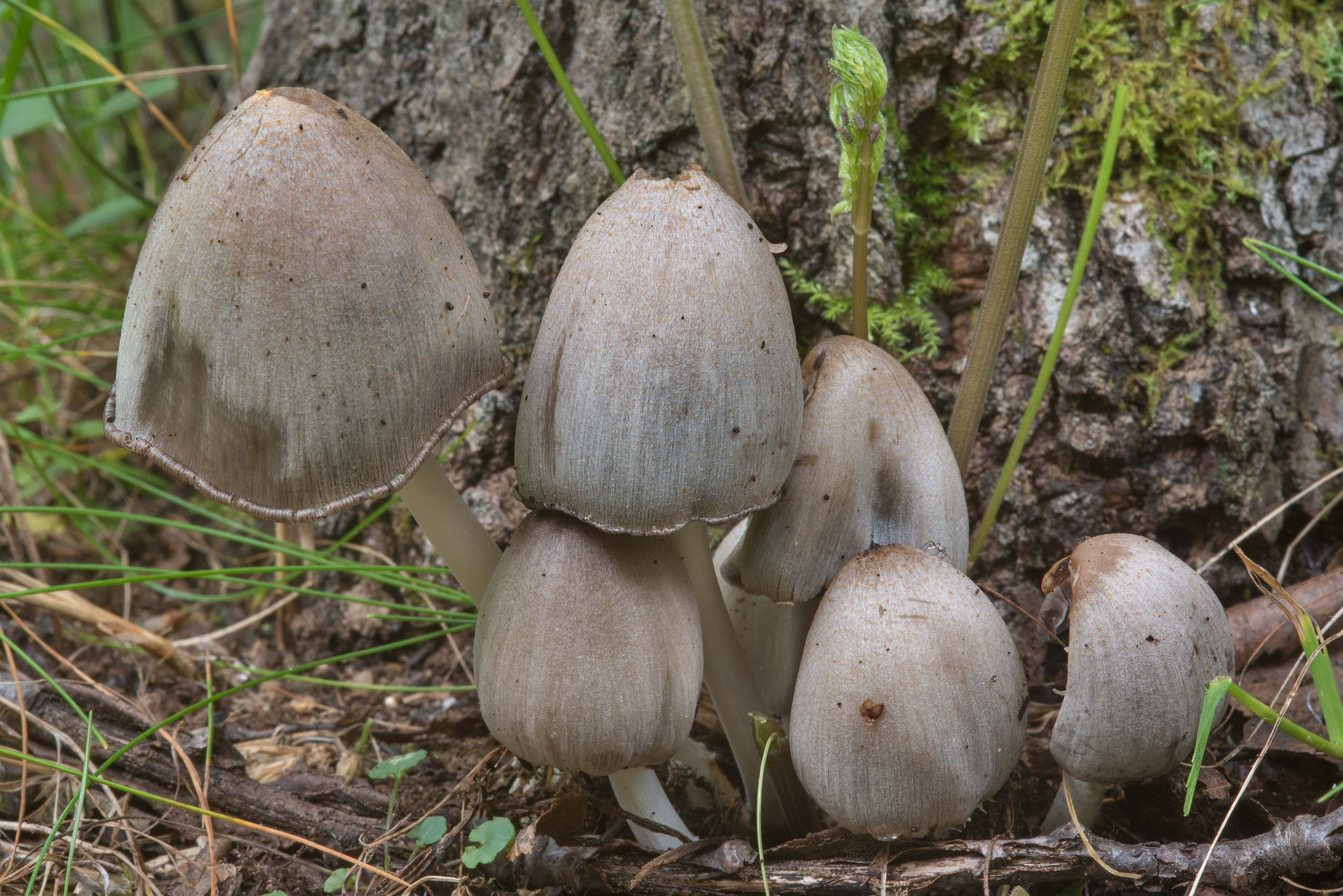 Humpback inkcap mushrooms (Coprinopsis acuminata...north from St.Petersburg. Russia