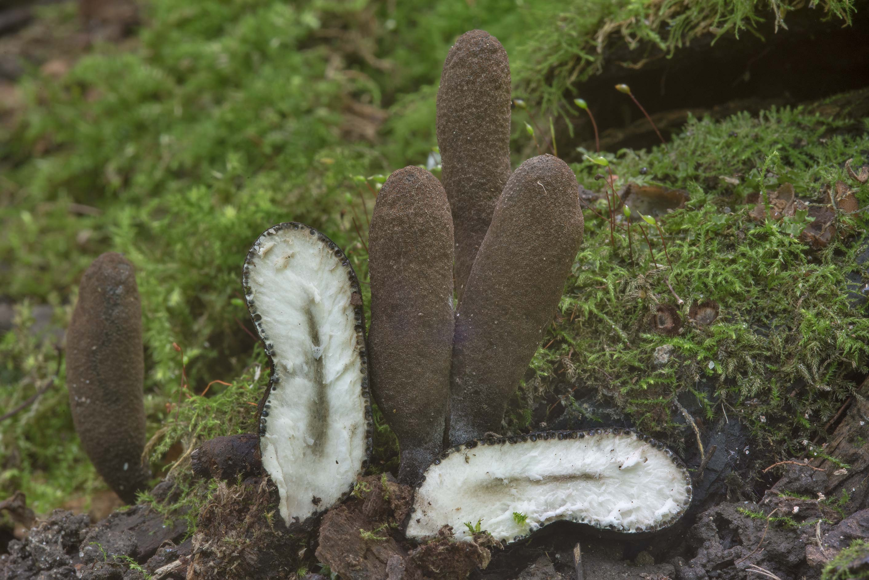Group of dead man's fingers (Xylaria polymorpha...Selo) near St.Petersburg, Russia