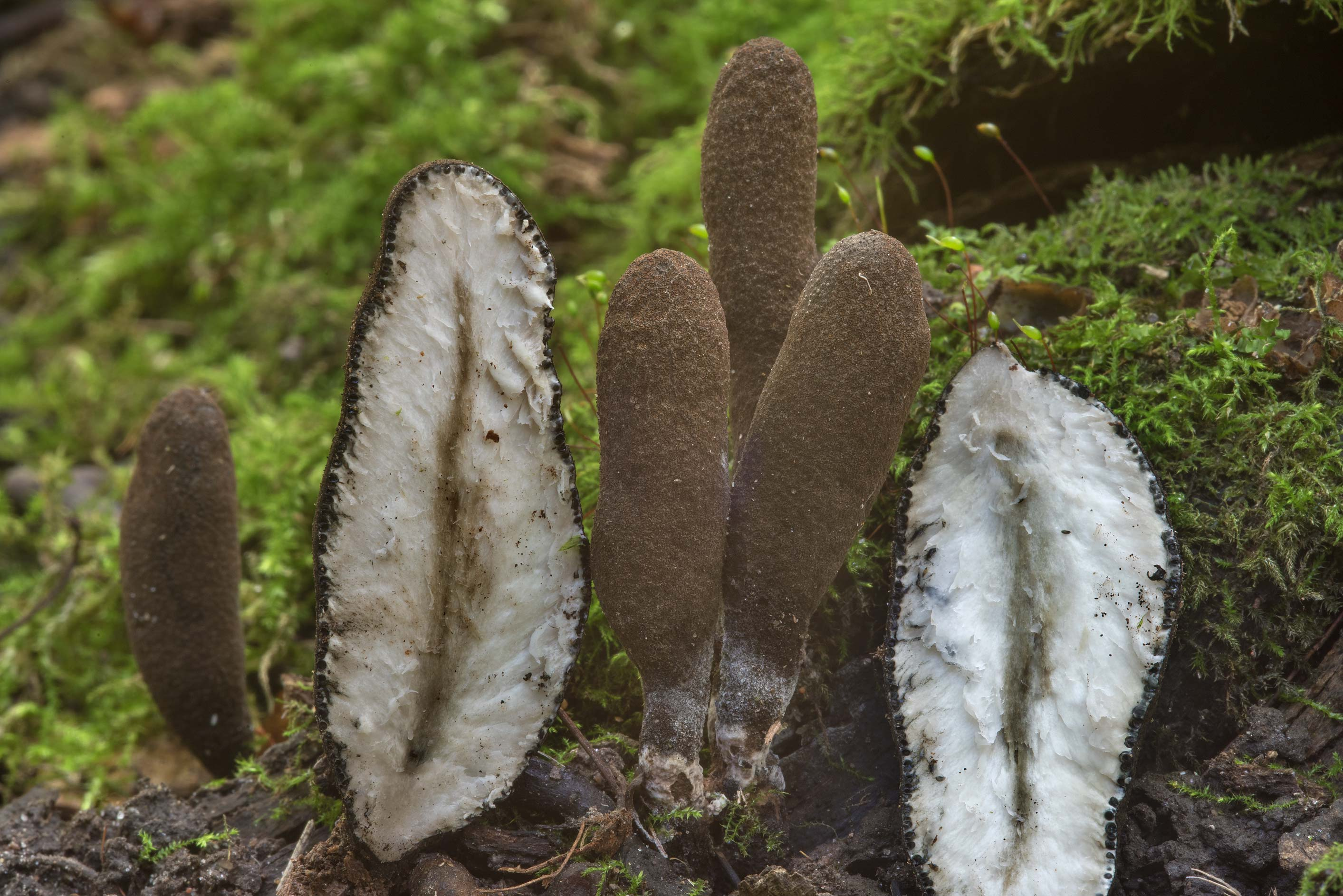 Dissected mushrooms dead man's fingers (Xylaria...Selo) near St.Petersburg, Russia