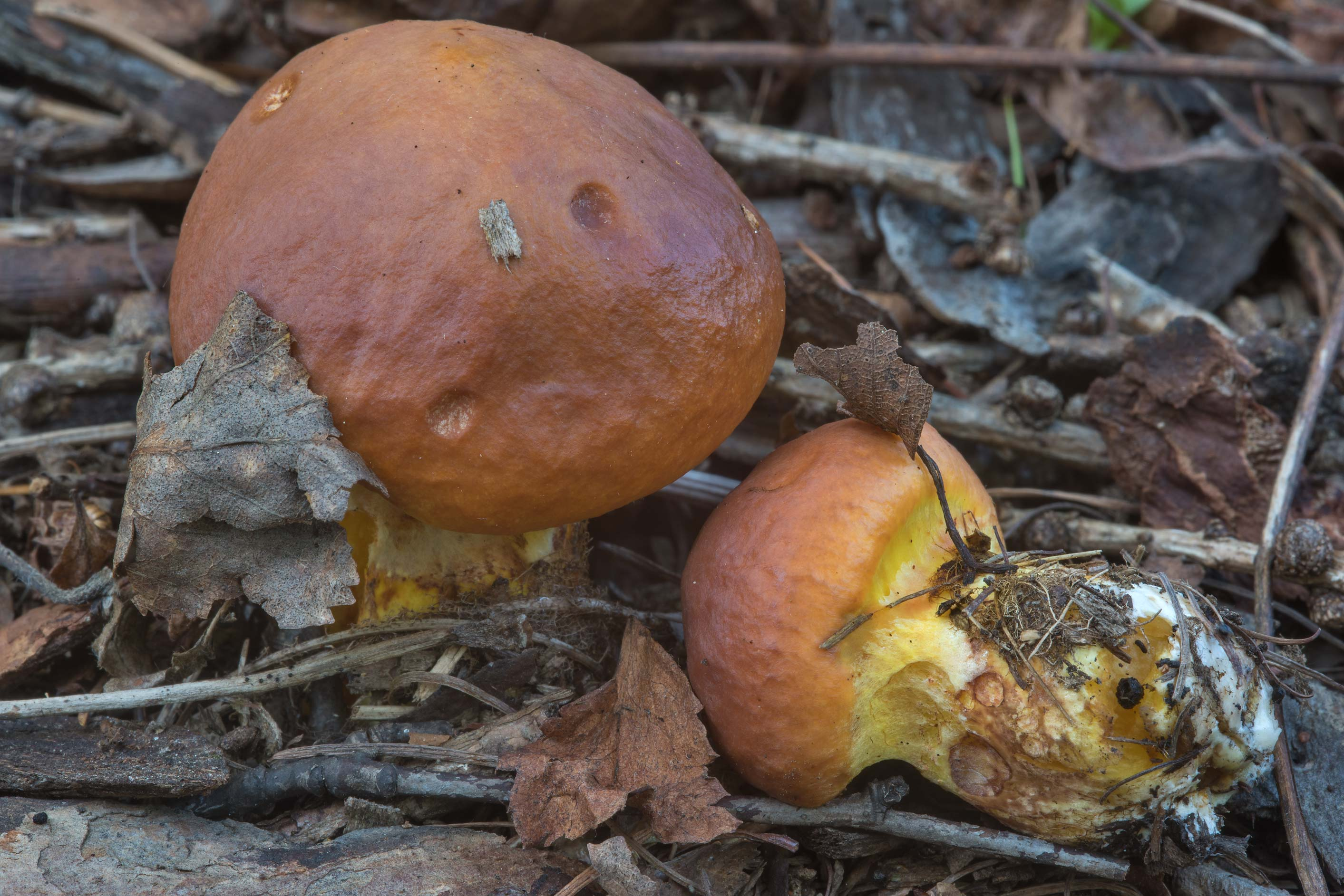 Larch bolete mushrooms (Suillus grevillei) on an...Selo) near St.Petersburg, Russia