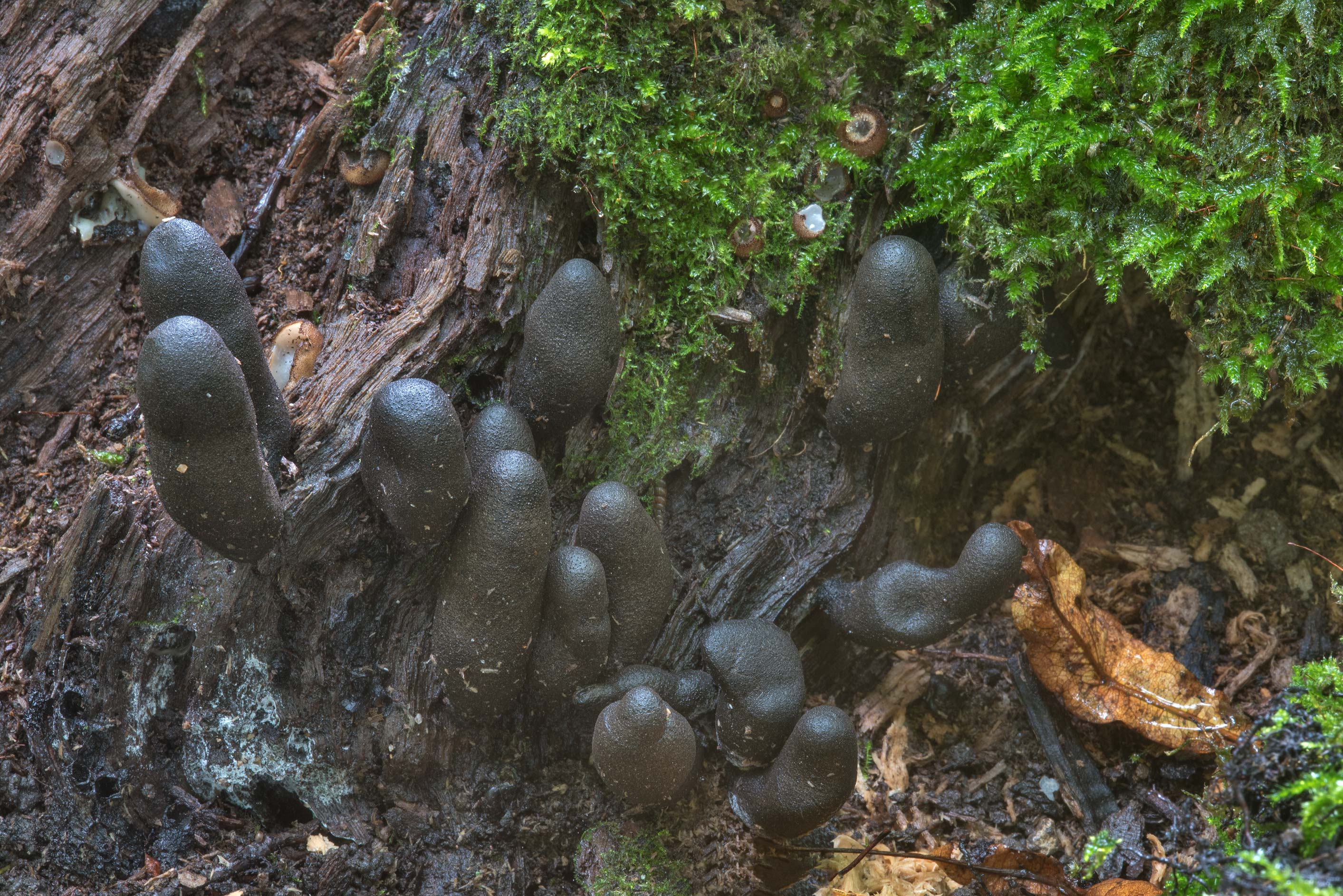Group of dead man's fingers (Xylaria polymorpha...Selo, near St.Petersburg. Russia