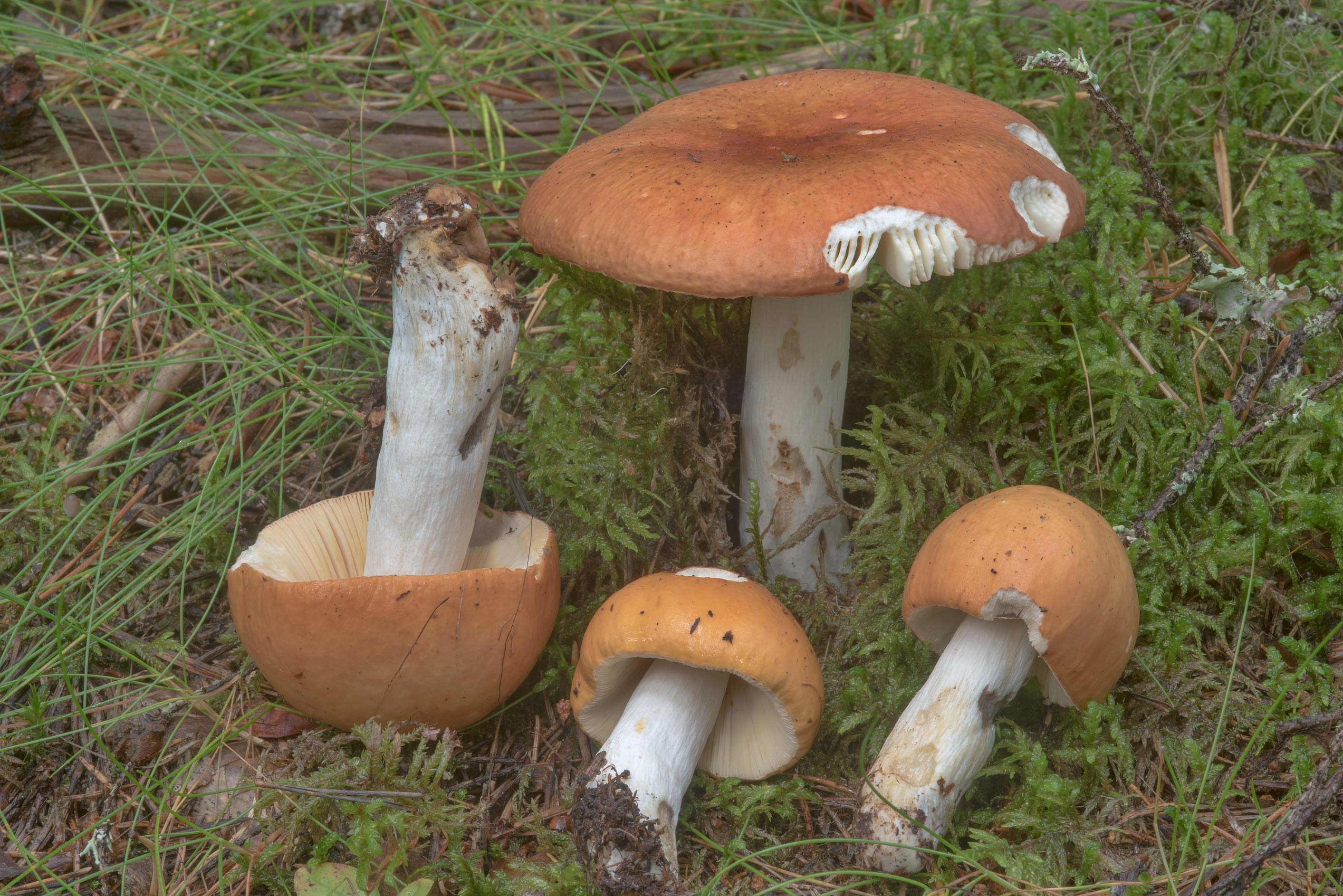 Greying brittlegill mushrooms (Russula decolorans...miles north from St.Petersburg. Russia