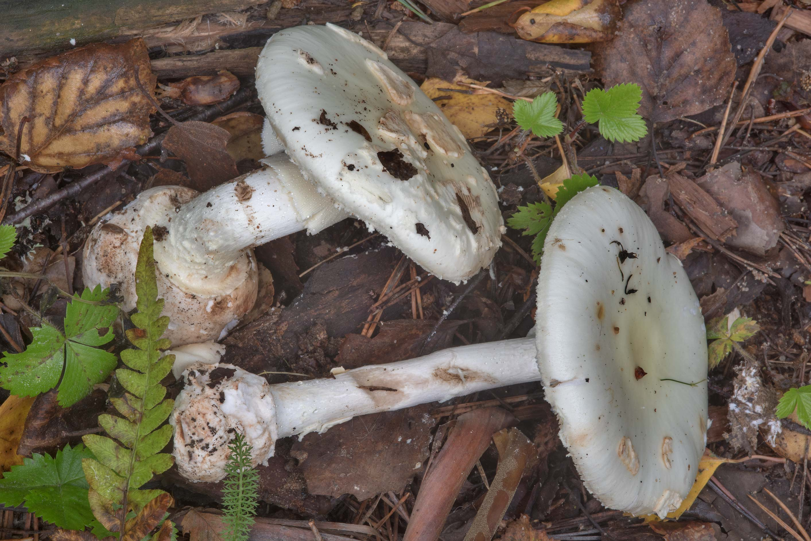 False deathcap mushrooms (Amanita citrina) near...miles north from St.Petersburg. Russia