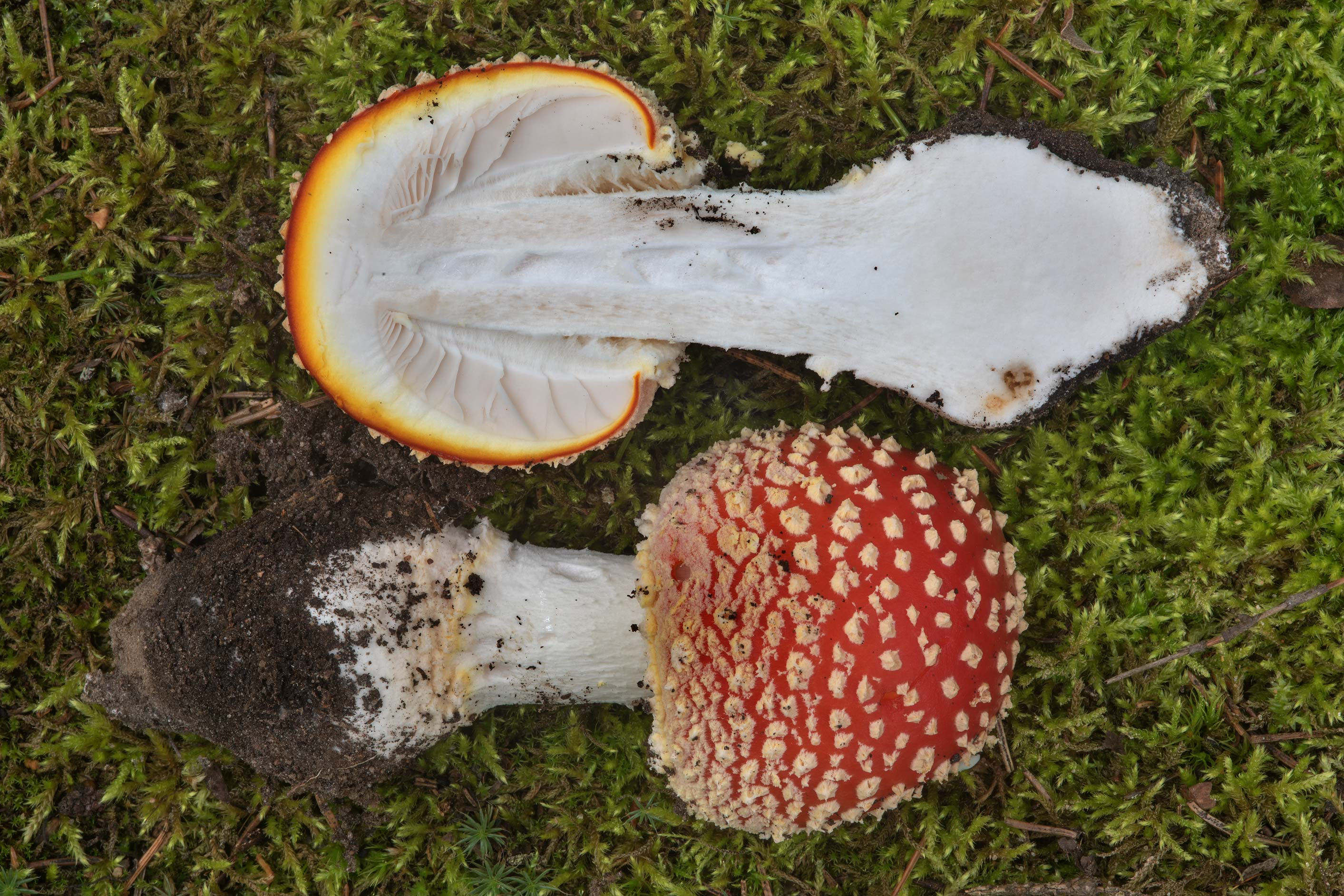 Dissected fly agaric mushroom (Amanita muscaria...miles north from St.Petersburg. Russia