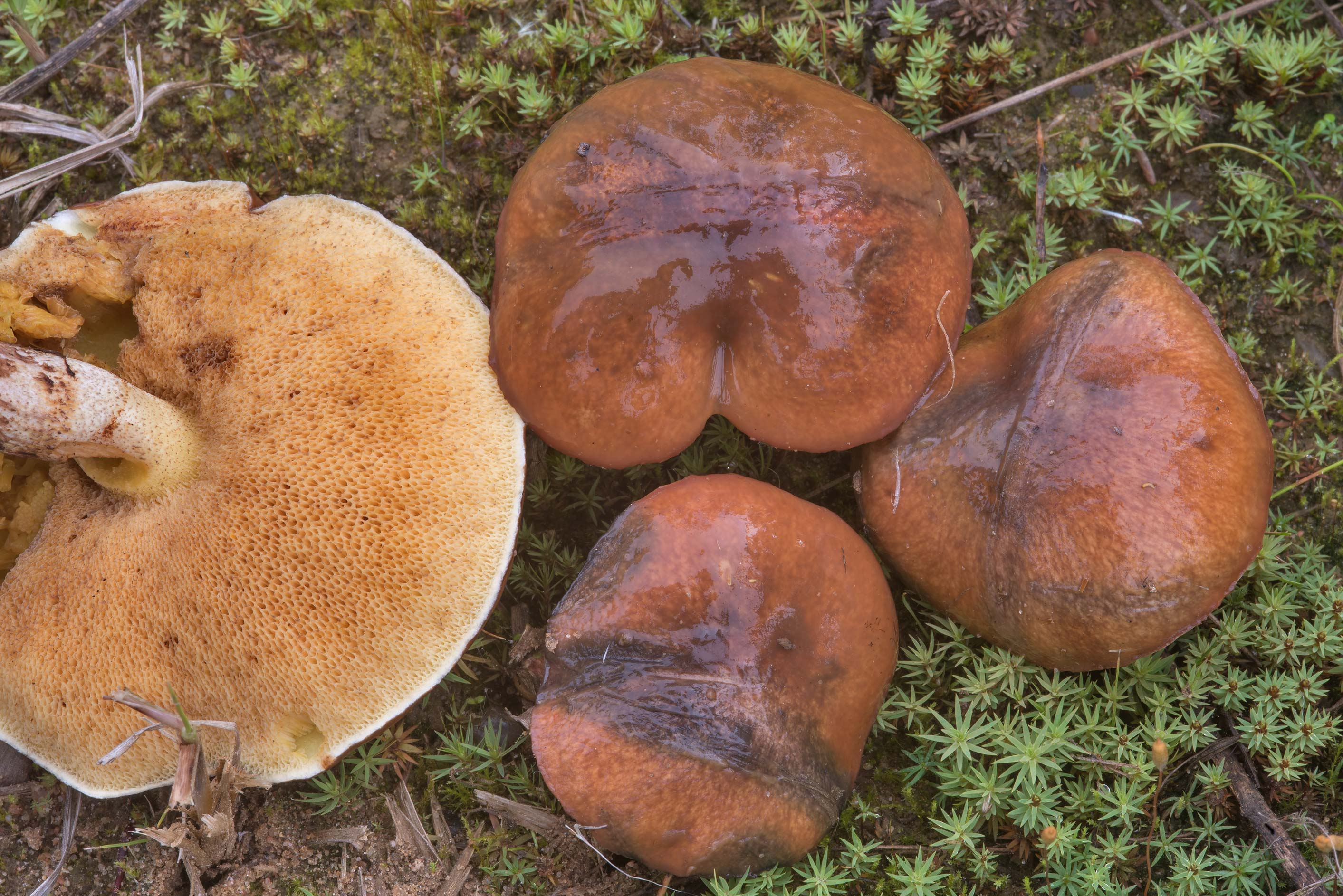 Slippery Jack mushrooms (Suillus luteus) north...miles north from St.Petersburg. Russia