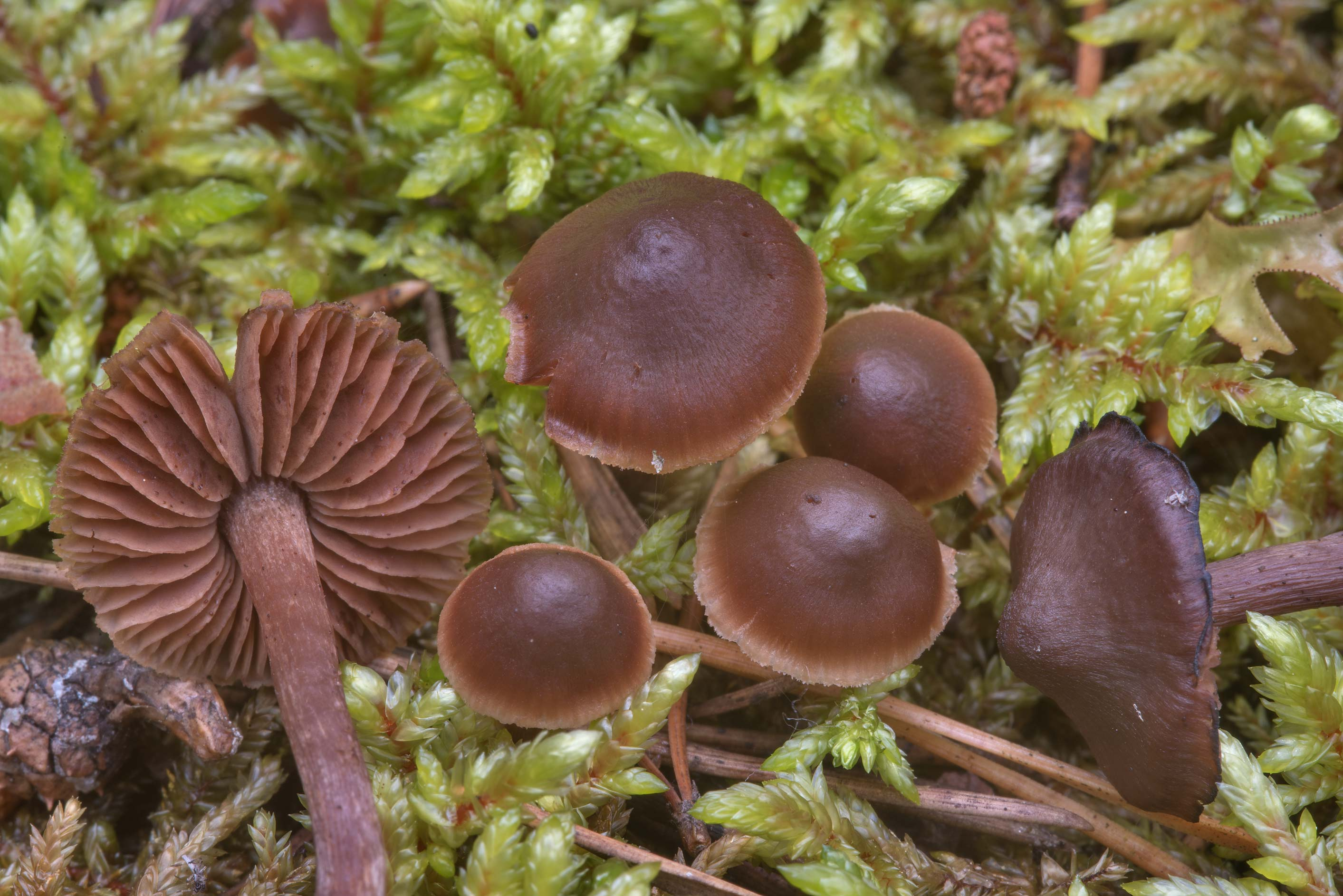Some small dark gilled mushrooms in moss north...miles north from St.Petersburg. Russia