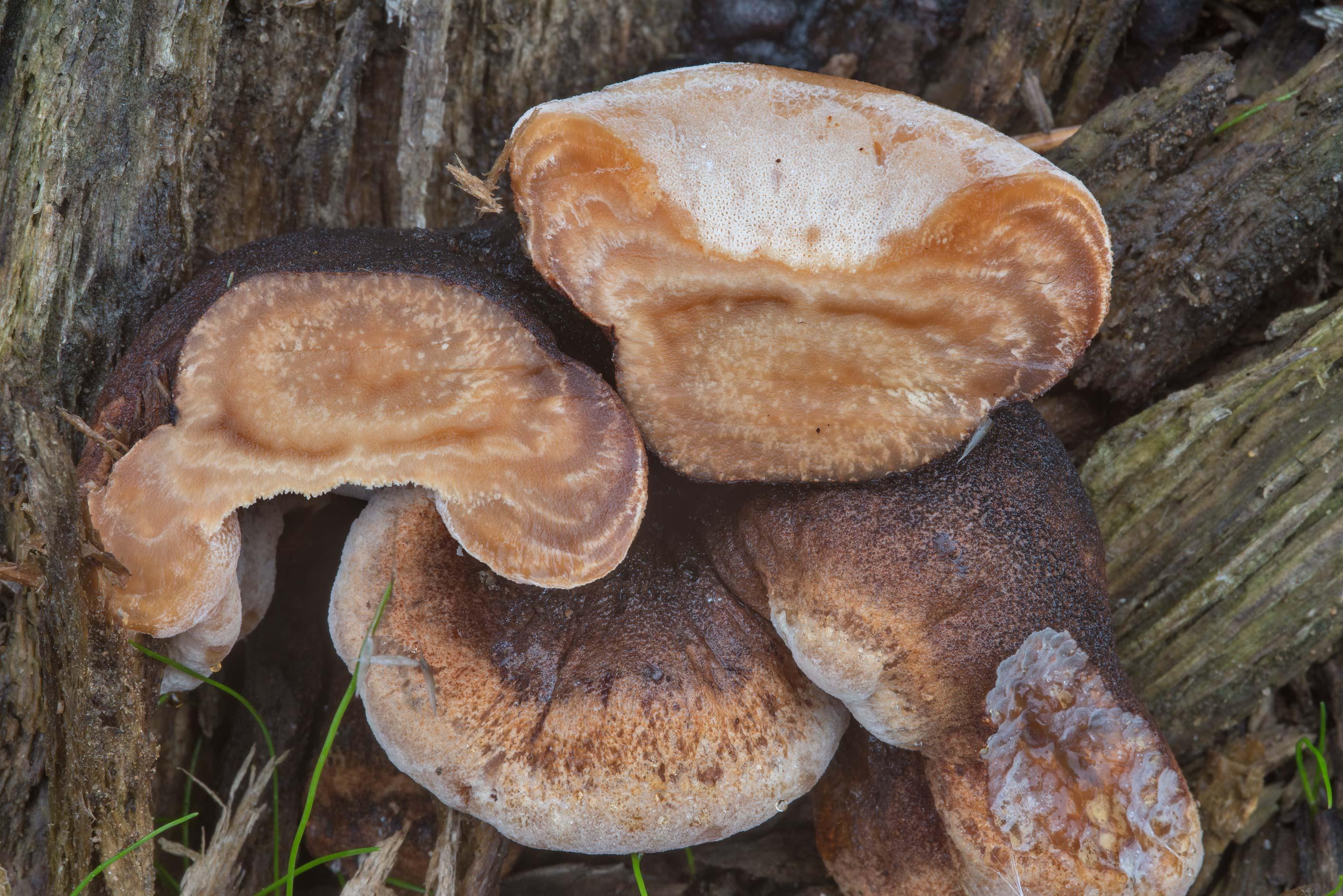 Resinous polypore mushrooms (Ischnoderma...miles north from St.Petersburg. Russia