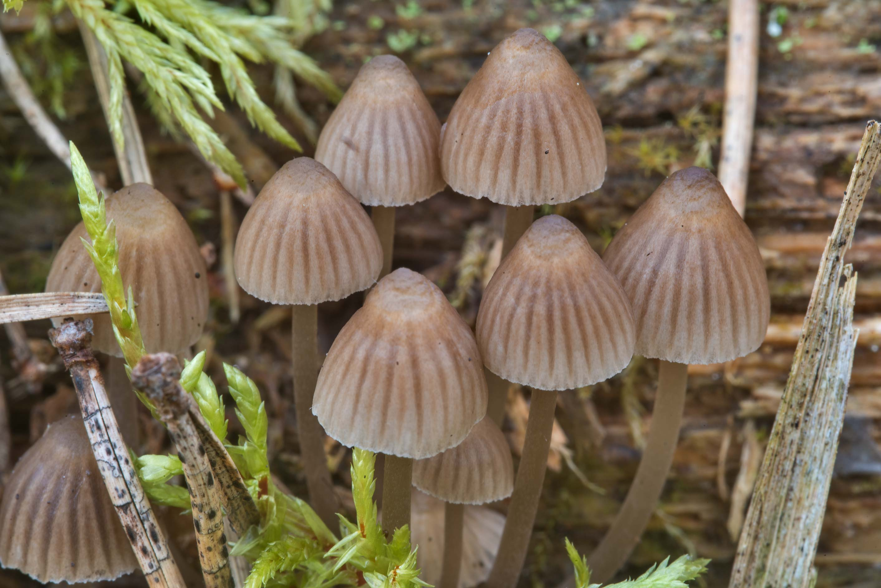 Cluster of bonnet mushrooms Mycena stipata on a...miles south from St.Petersburg. Russia
