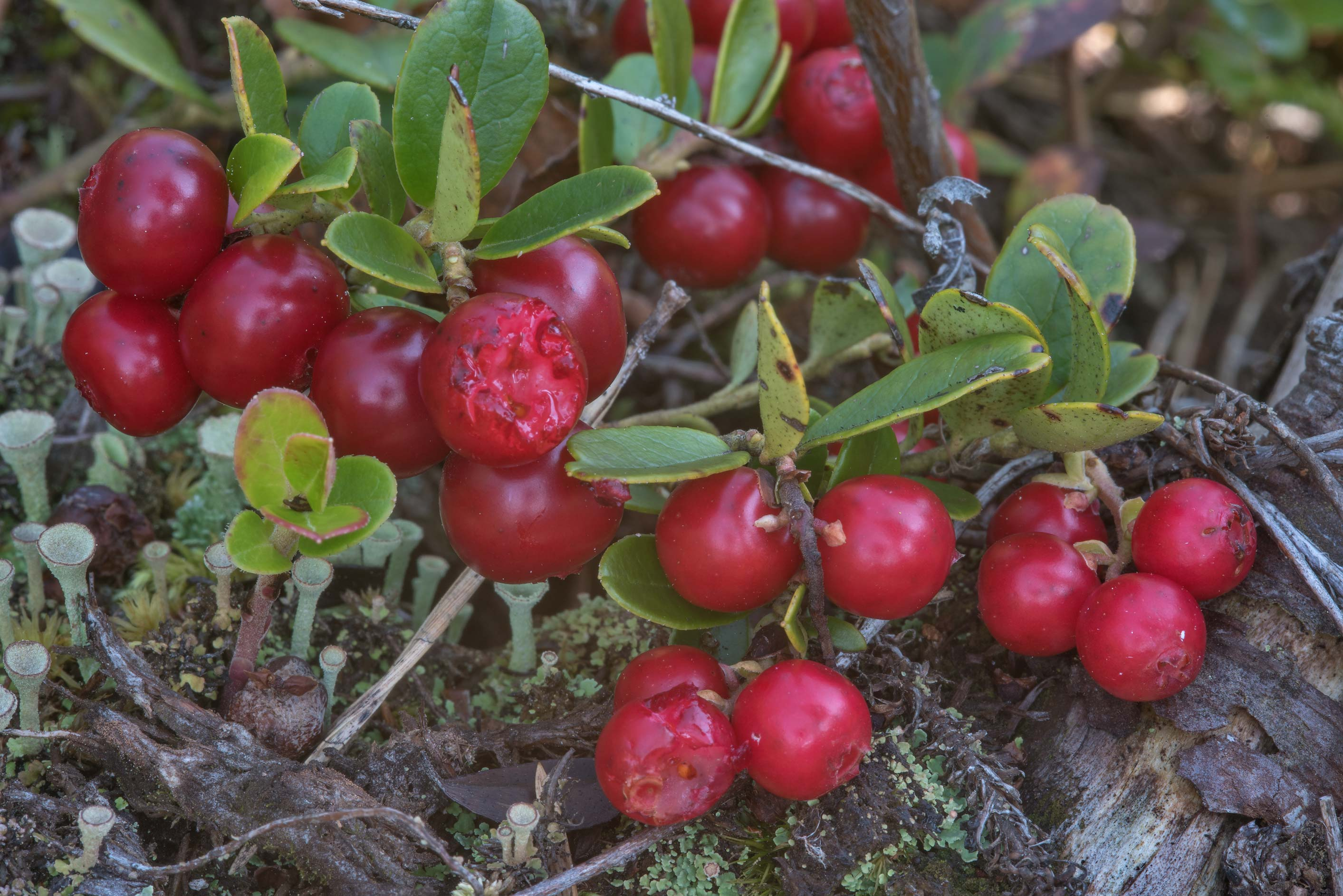 Cowberry (lingonberry, Vaccinium vitis-idaea...miles south from St.Petersburg. Russia