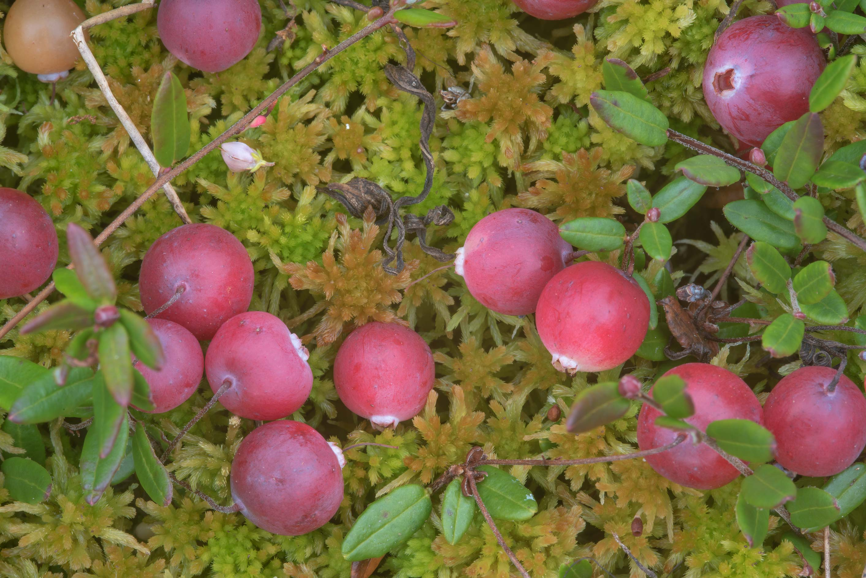 Cranberry (Oxycoccus palustris, Vaccinium...miles south from St.Petersburg. Russia