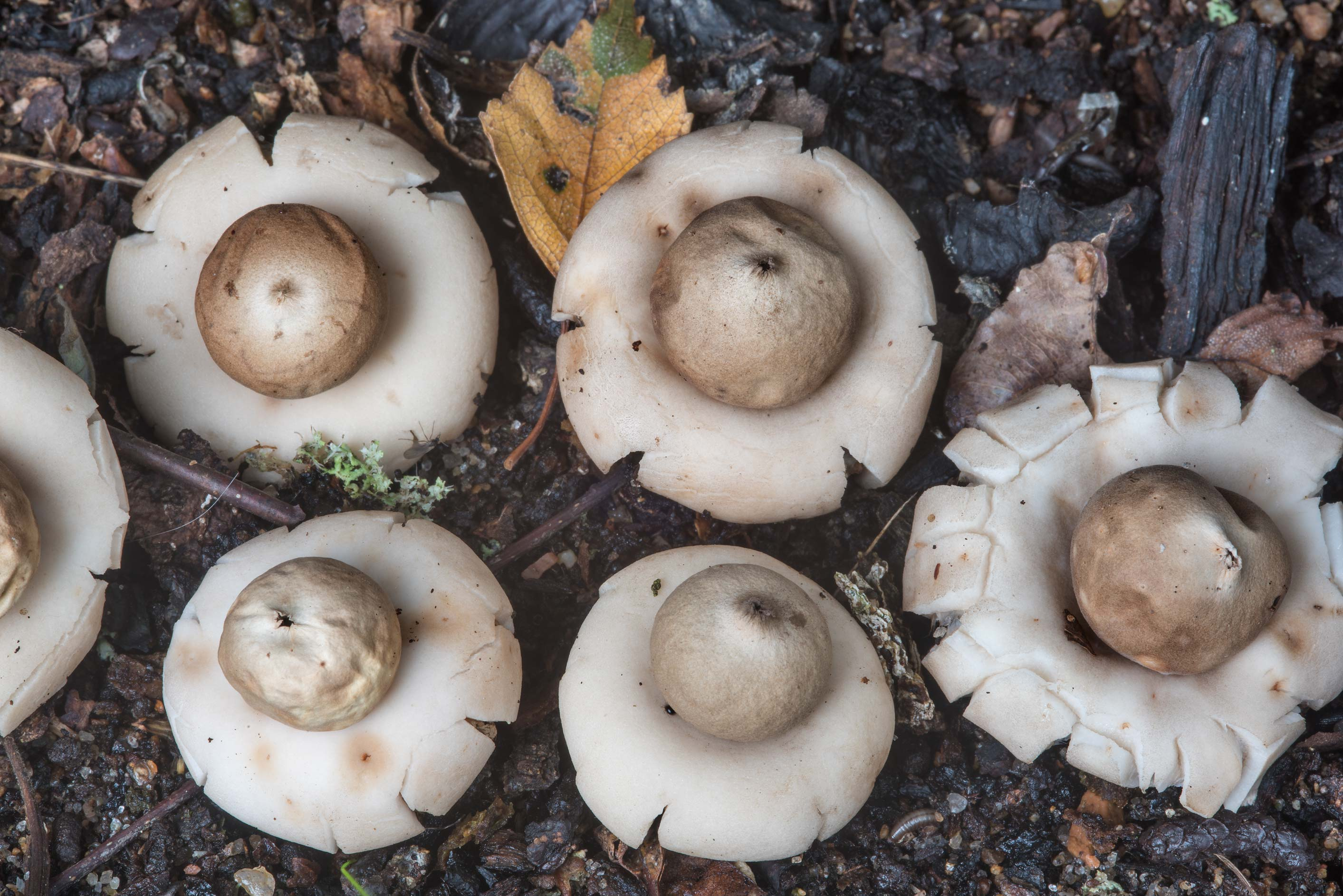 Sessile earthstar mushrooms (Geastrum fimbriatum...Nos, west from St.Petersburg. Russia