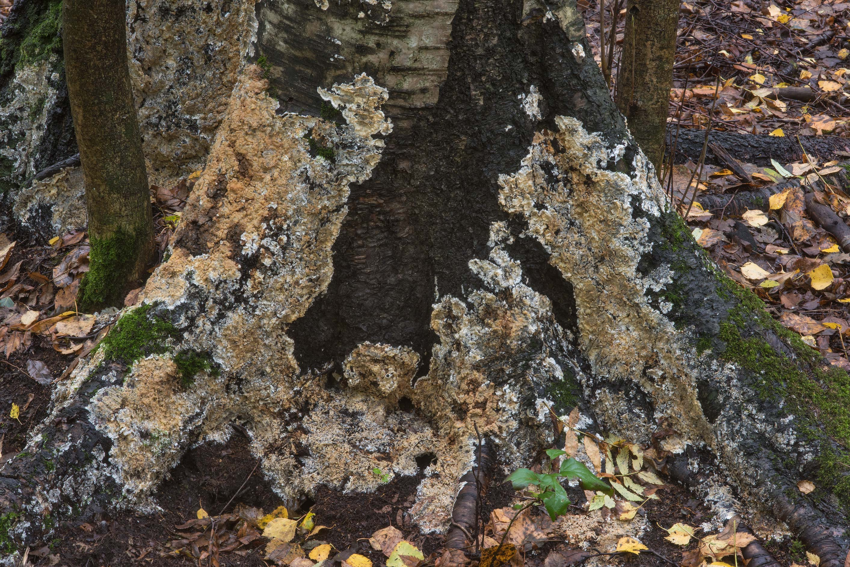 Some crustous fungus at the base of a birch tree in Sosnovka Park. St.Petersburg, Russia