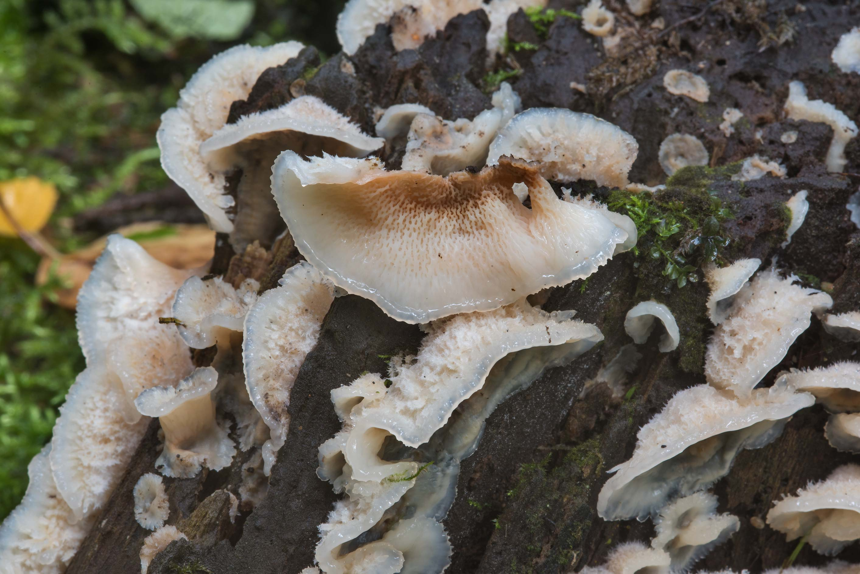 Close up of jelly rot fungus (Phlebia tremellosa...a suburb of St.Petersburg, Russia
