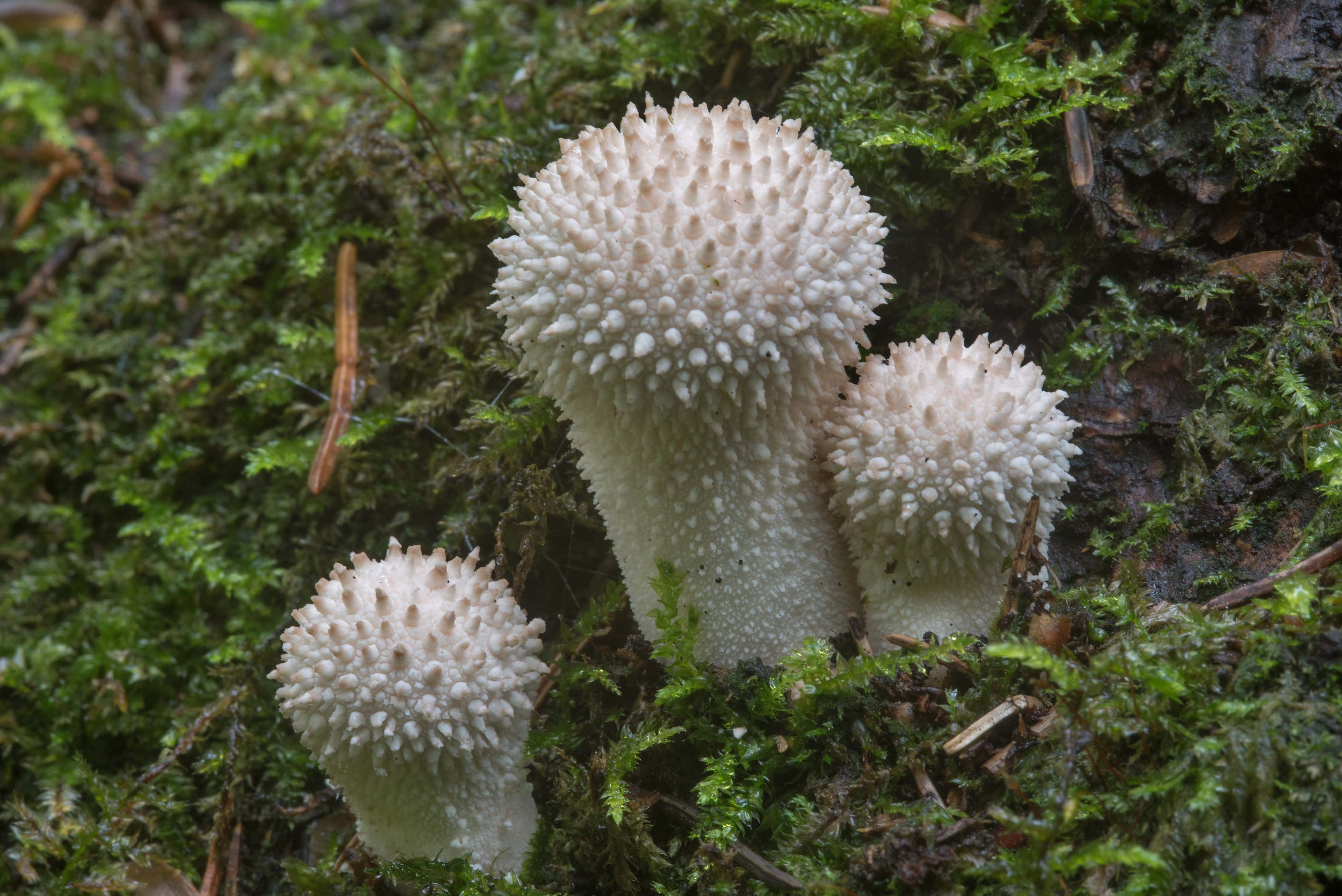 Common puffball mushrooms (Lycoperdon perlatum...a suburb of St.Petersburg, Russia