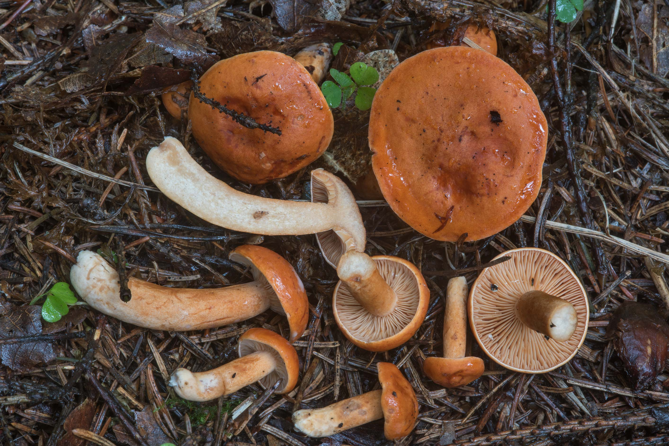 Orange milkcap mushrooms (Lactarius aurantiacus...a suburb of St.Petersburg, Russia