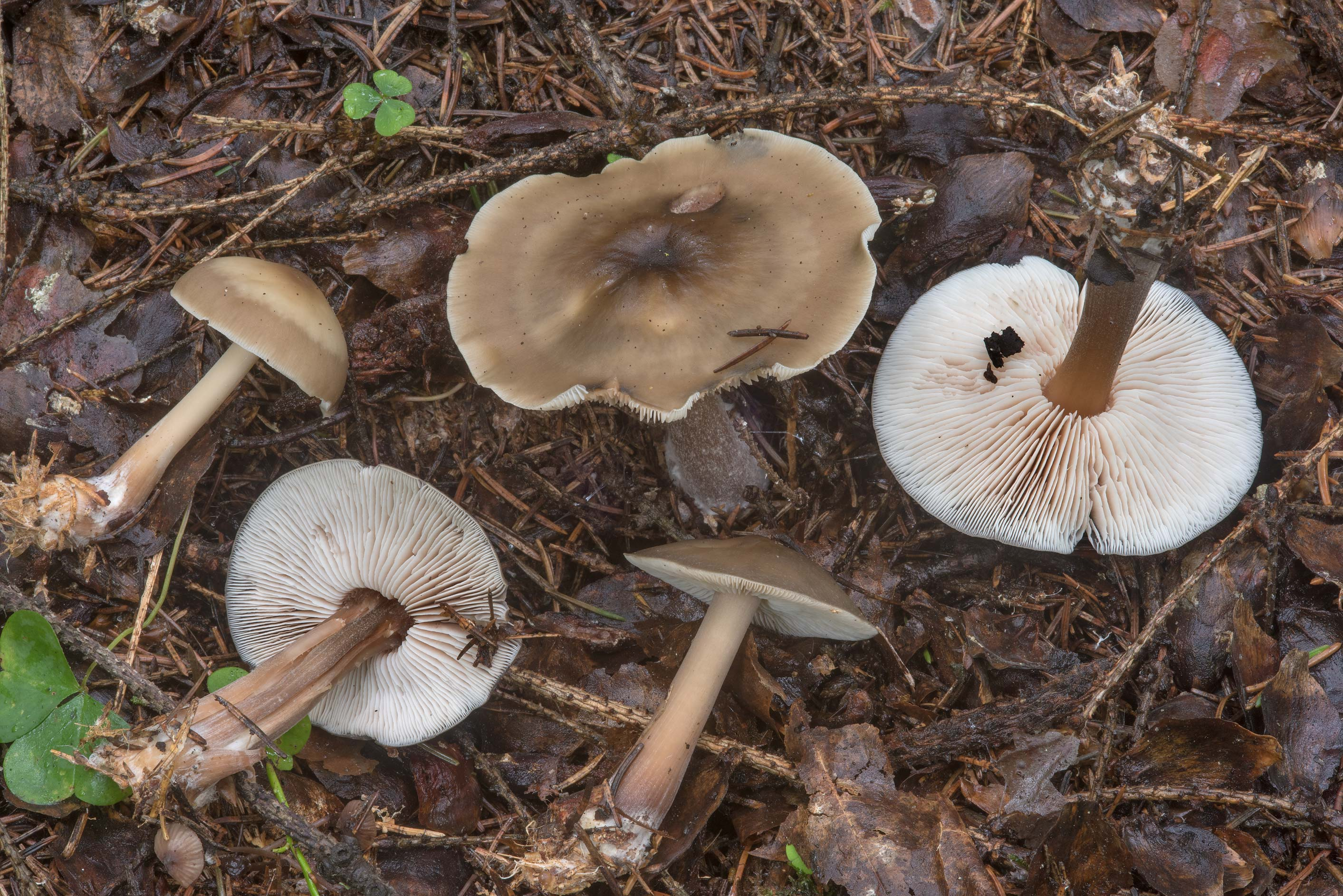 Butter cap mushrooms (Rhodocollybia butyracea) in...a suburb of St.Petersburg, Russia