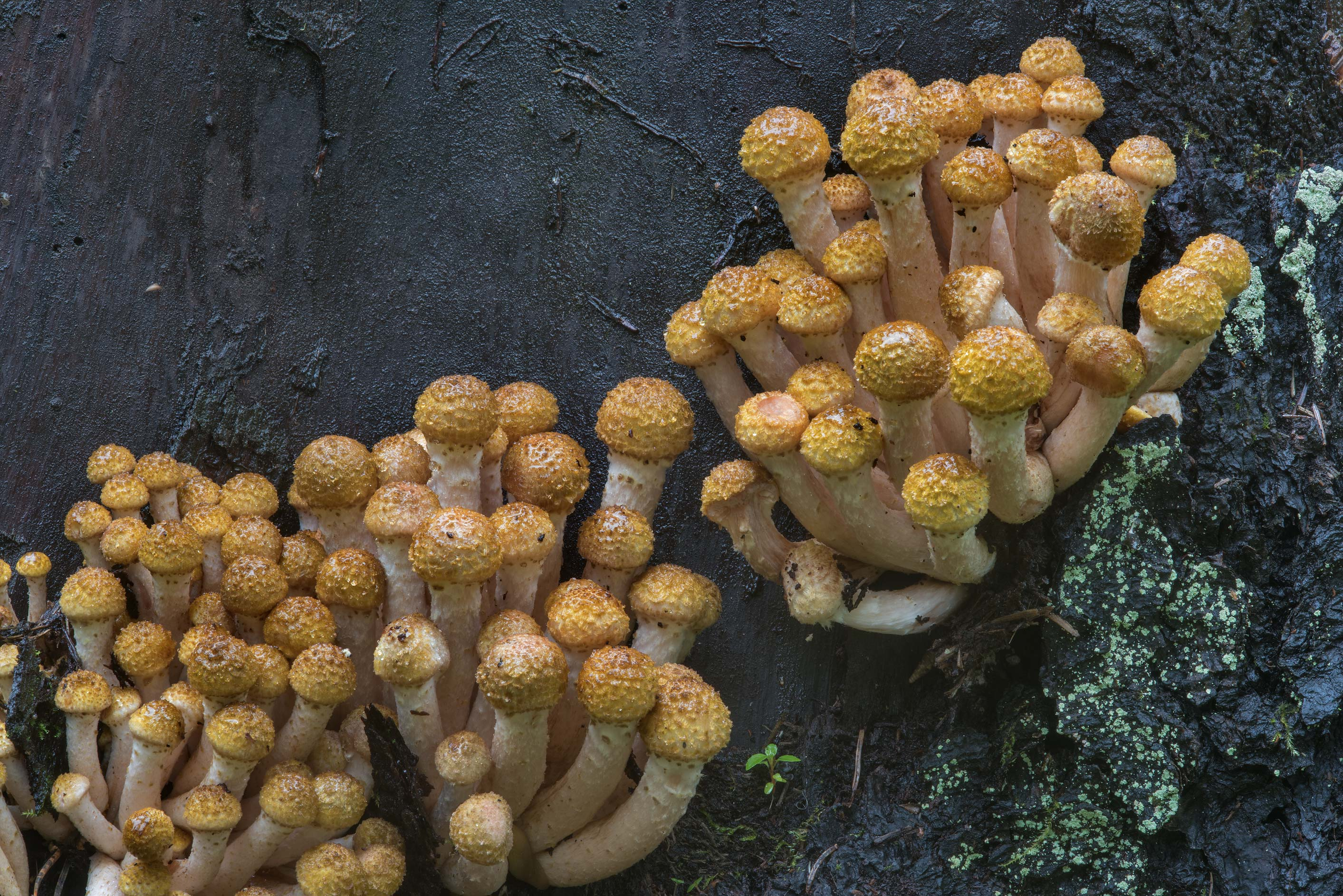 Groups of young northern honey mushrooms...a suburb of St.Petersburg, Russia