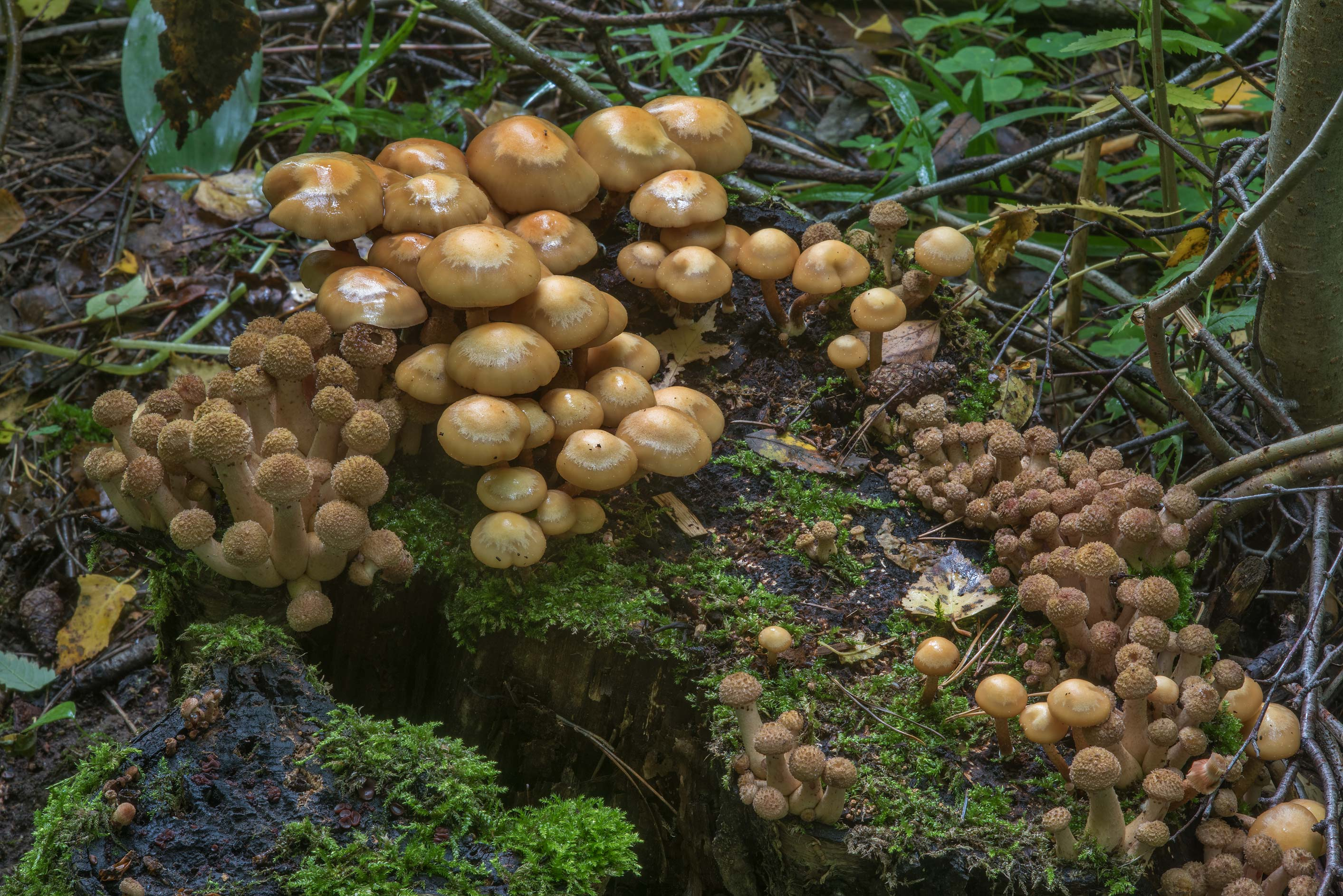 Immature northern honey mushrooms (Armillaria...a suburb of St.Petersburg, Russia