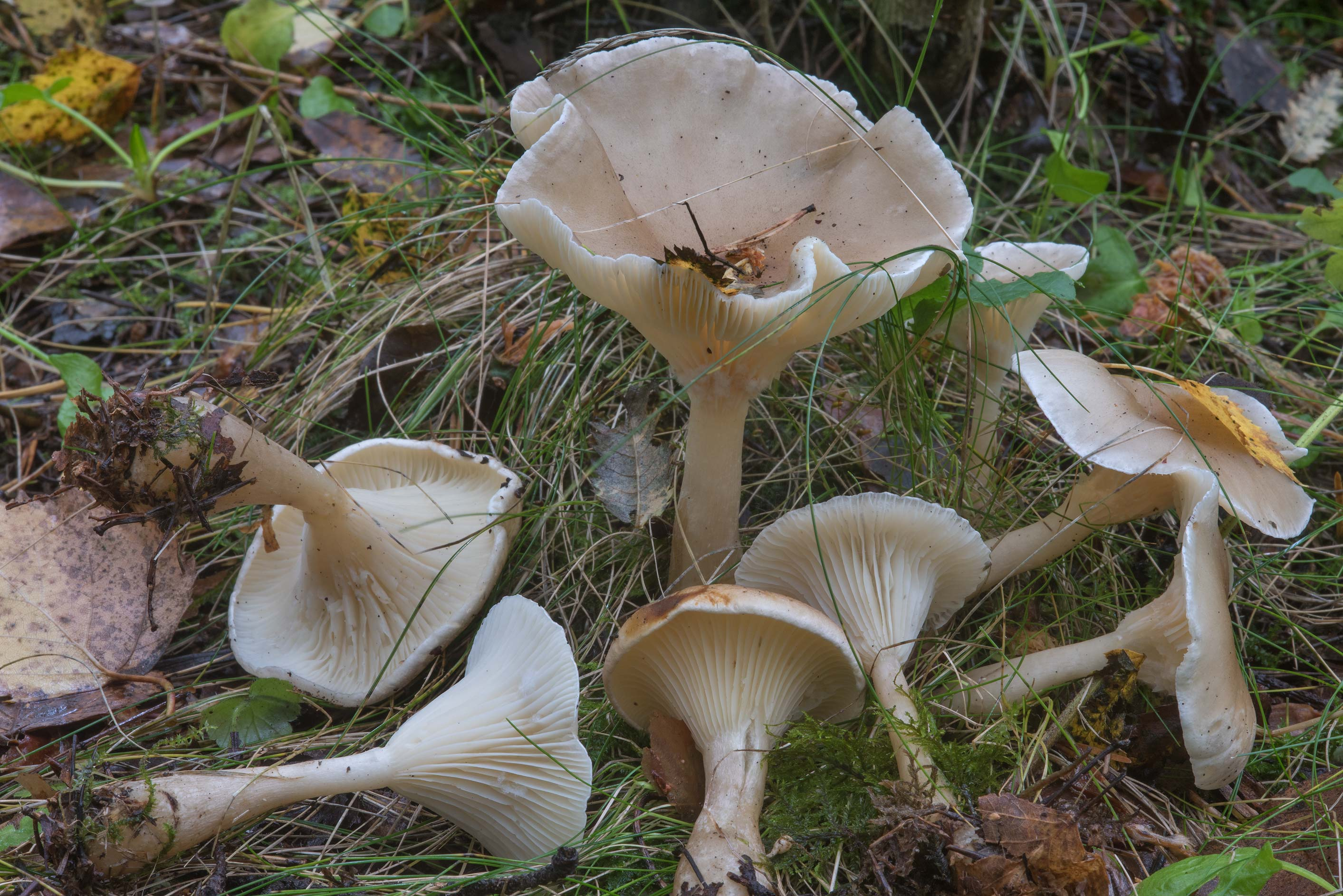 Club foot mushrooms (Ampulloclitocybe clavipes) in Sosnovka Park. St.Petersburg, Russia