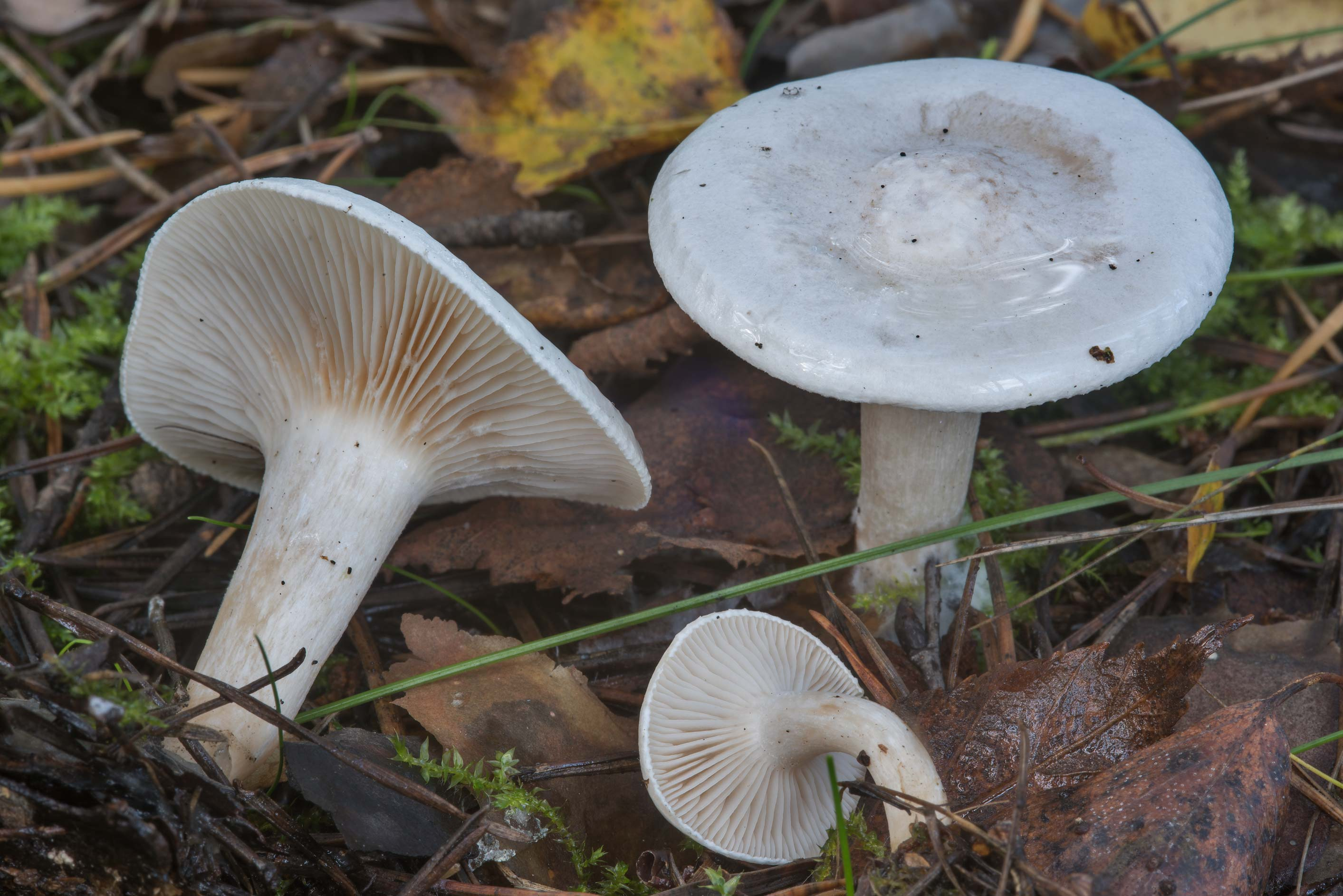 The miller mushrooms (Clitopilus prunulus) in Sosnovka Park. St.Petersburg, Russia