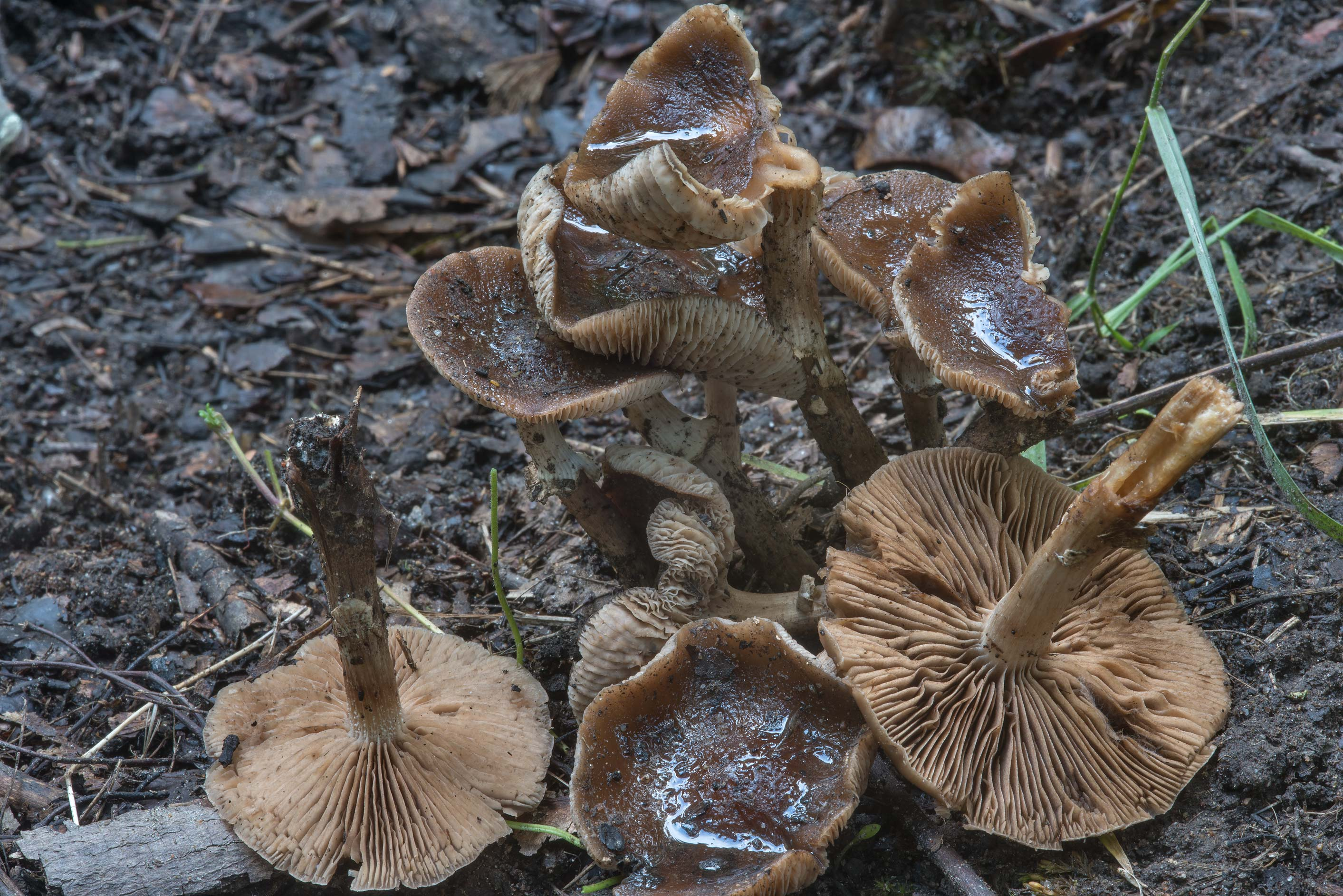 Dark fieldcap (Cyclocybe erebia) mushrooms in...Sosnovka Park. St.Petersburg, Russia