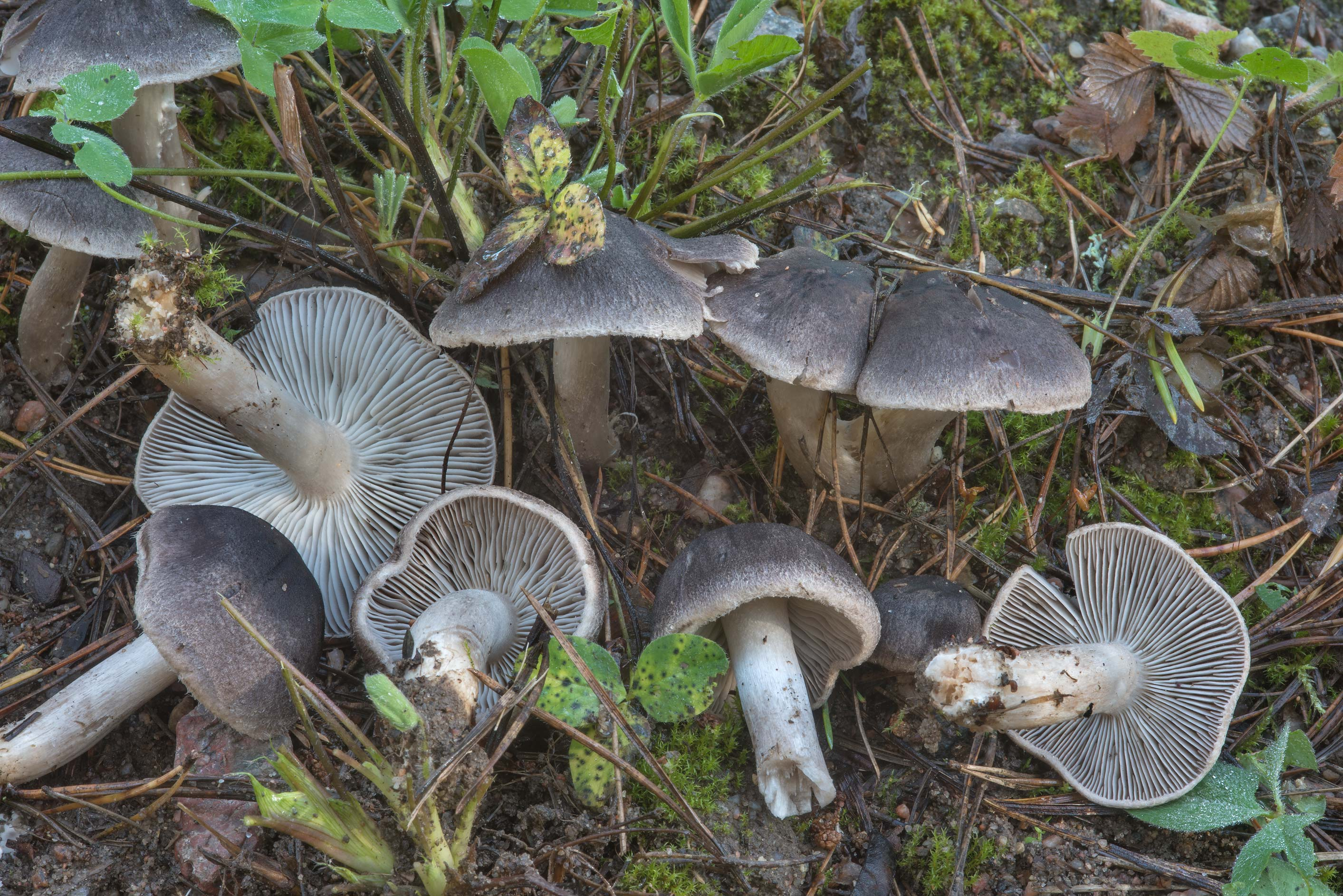Grey knight mushrooms (Tricholoma terreum) on...north from St.Petersburg. Russia